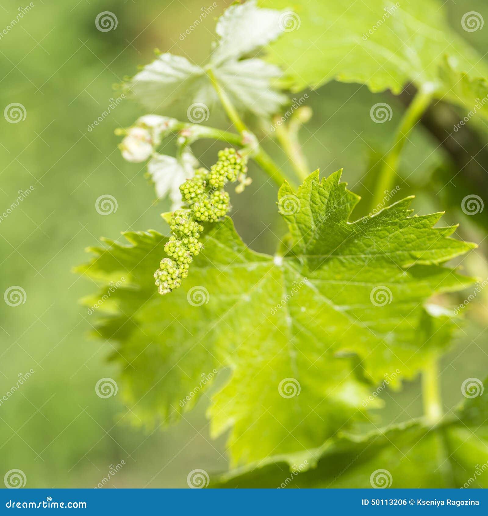 Transformation De Fleur De Vigne Dans Une Baie De Raisin Photo Stock