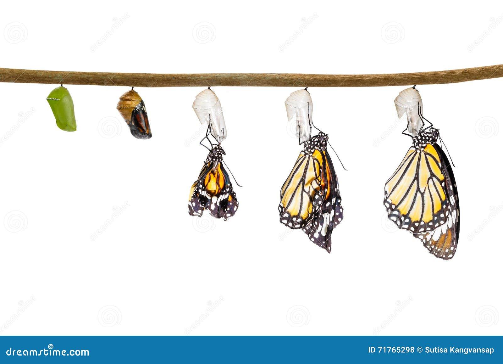 transformation du papillon commun de tigre mergeant du. Black Bedroom Furniture Sets. Home Design Ideas