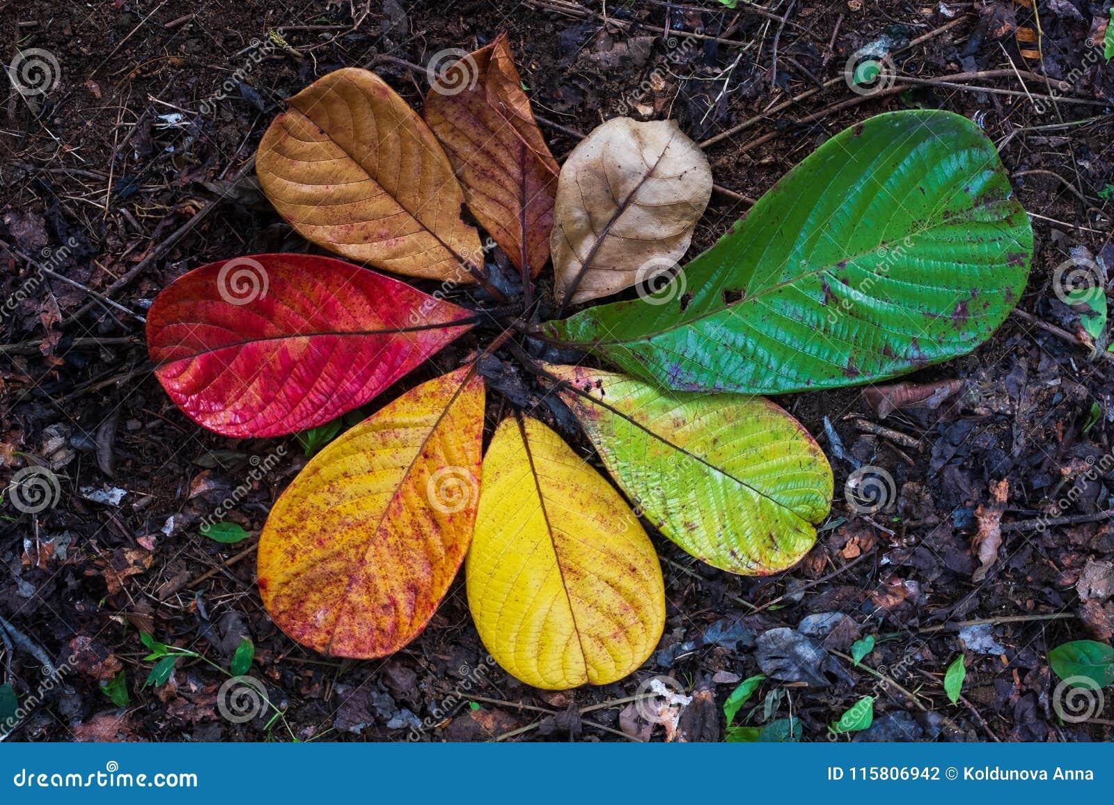 Transición de la hoja de Autumn Maple y concepto de la variación para la caída y el cambio de la estación