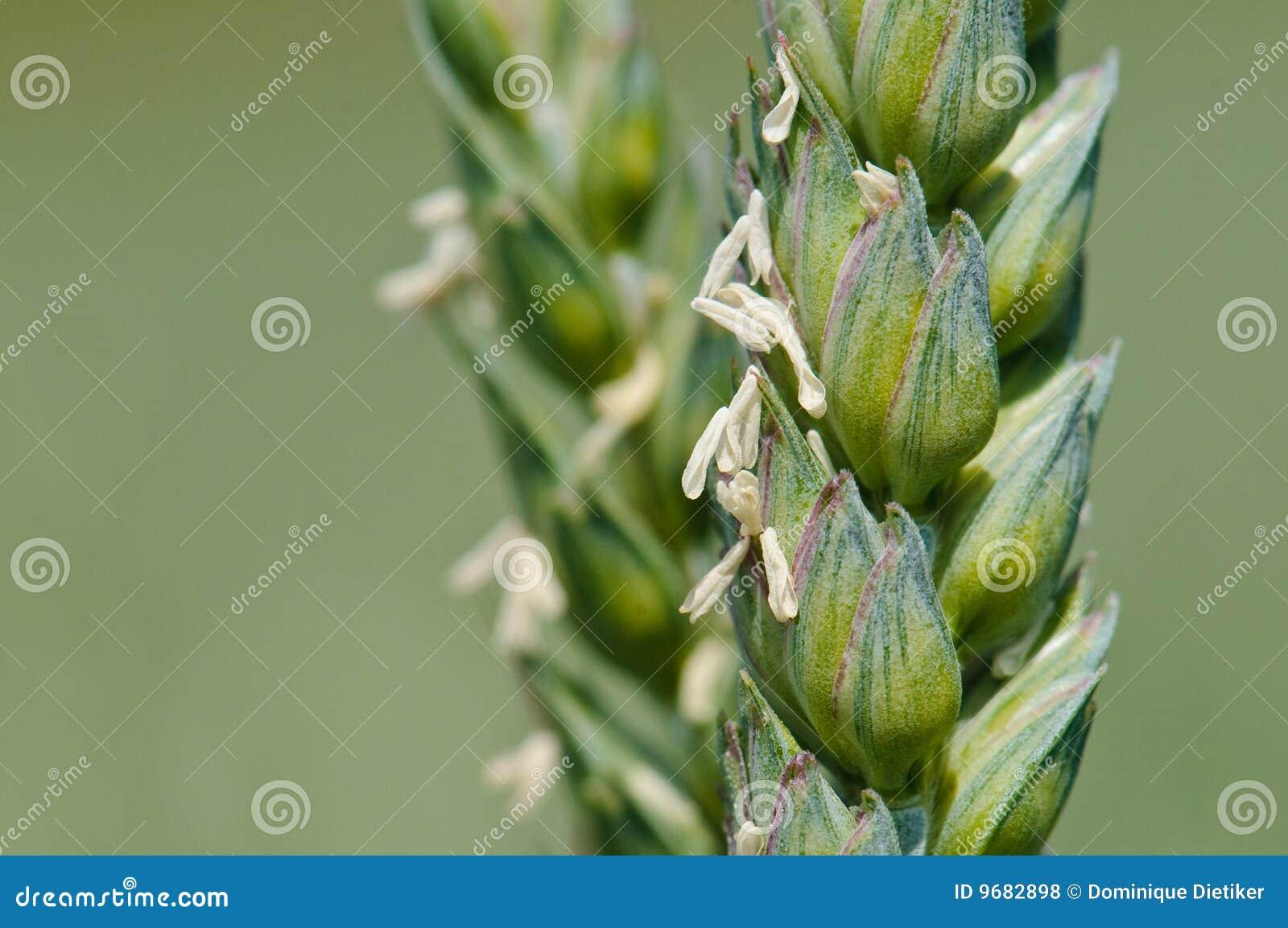 Transitoire de blé