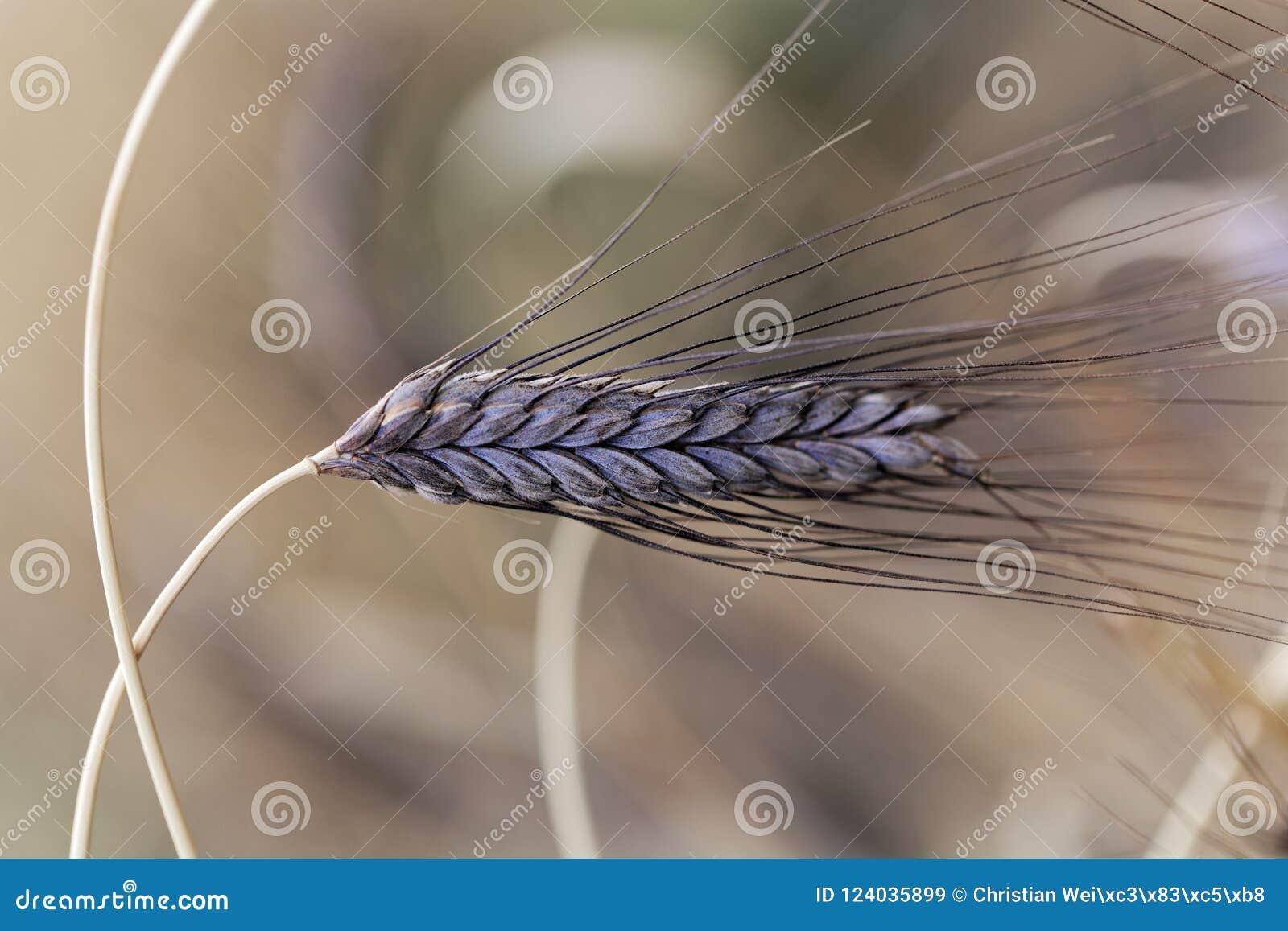 Transitoire de variété noire de dicoccon de triticum de blé d emmer atratum