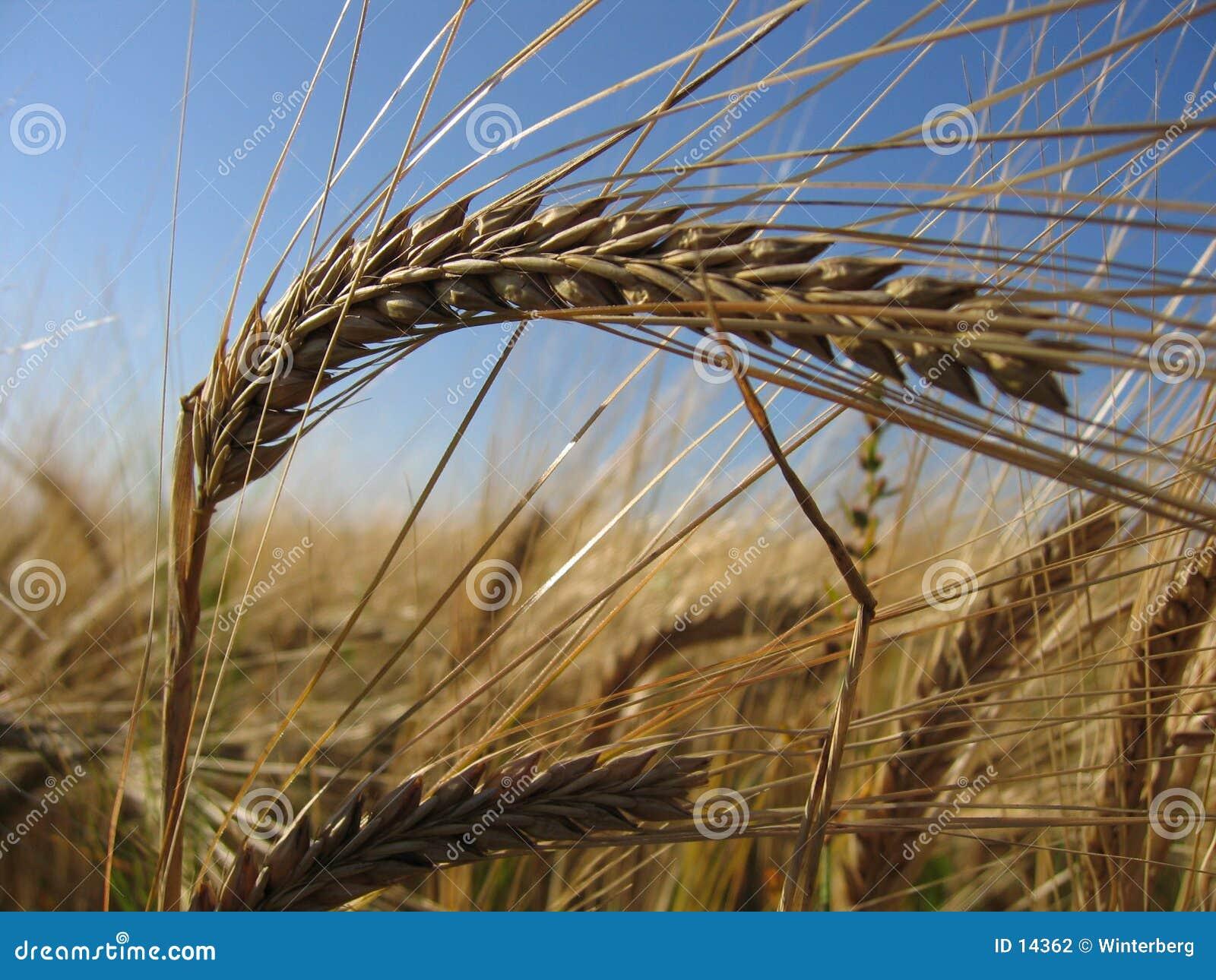 Transitoire II de blé