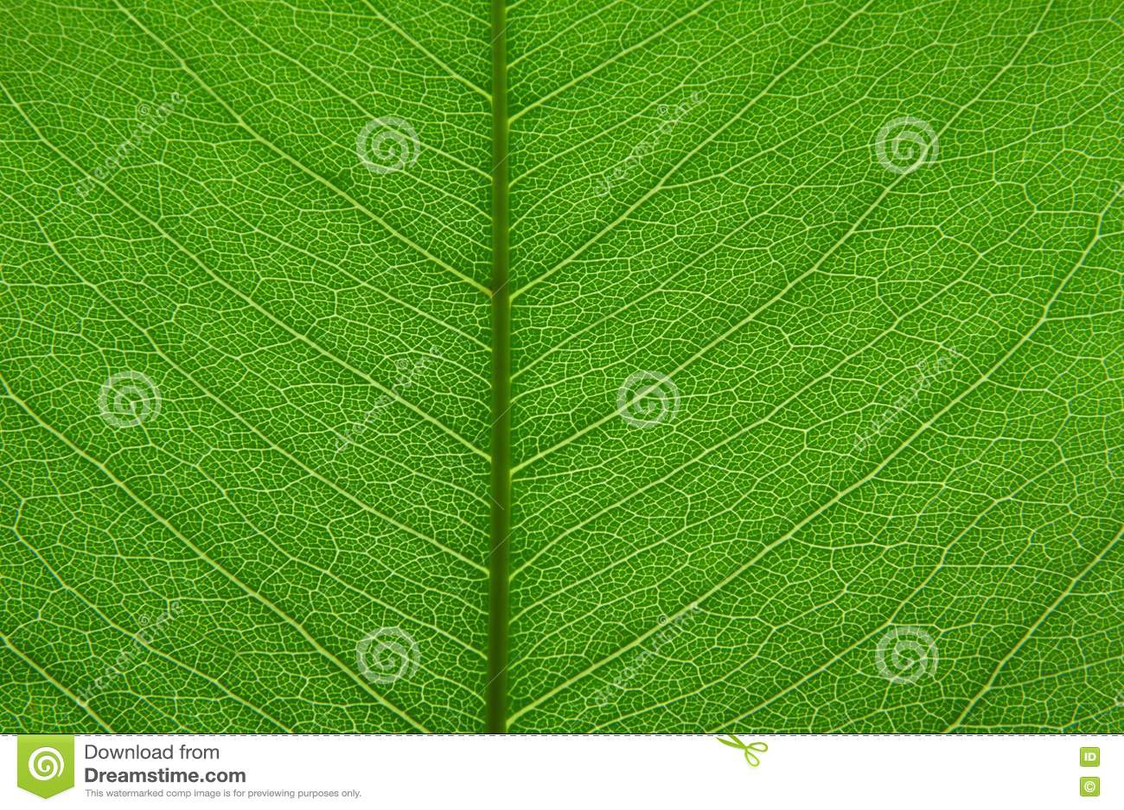 Transparent green leaf texture