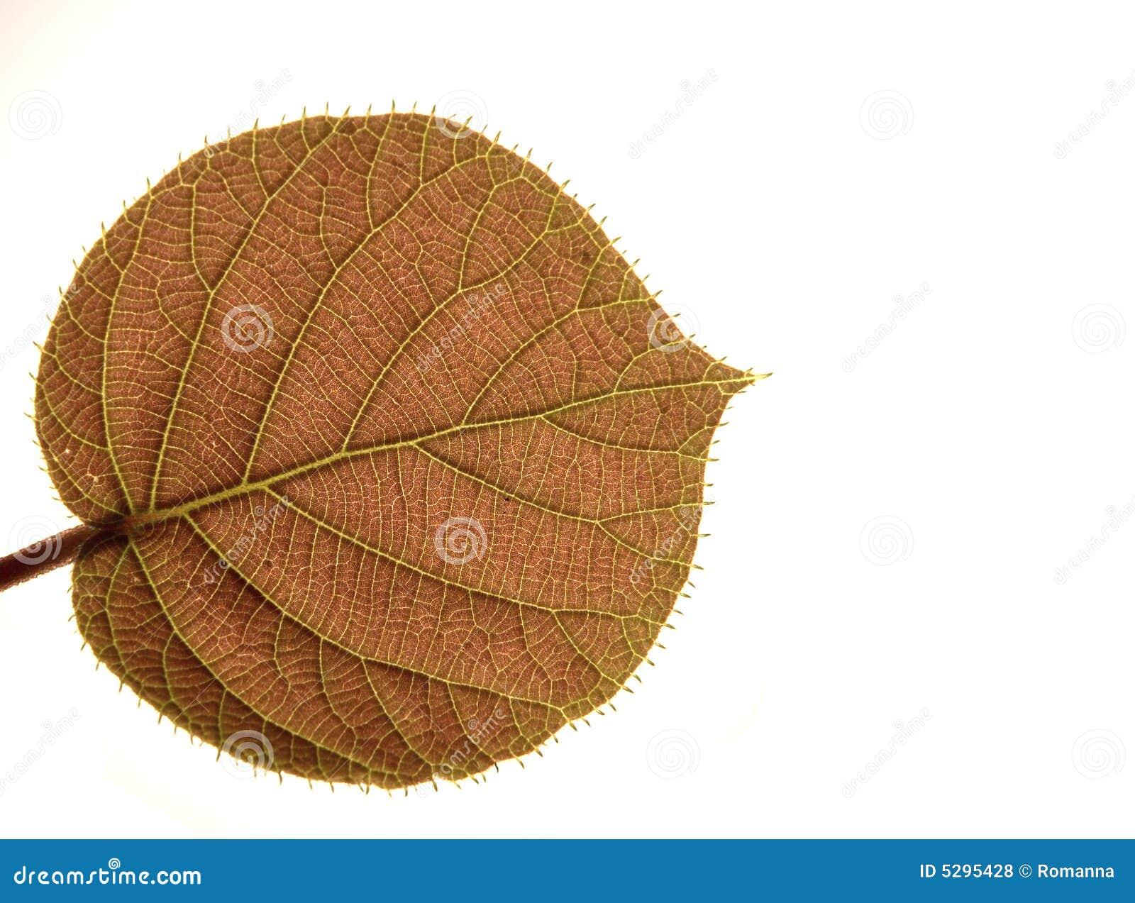 Transparent leaf of a kiwi