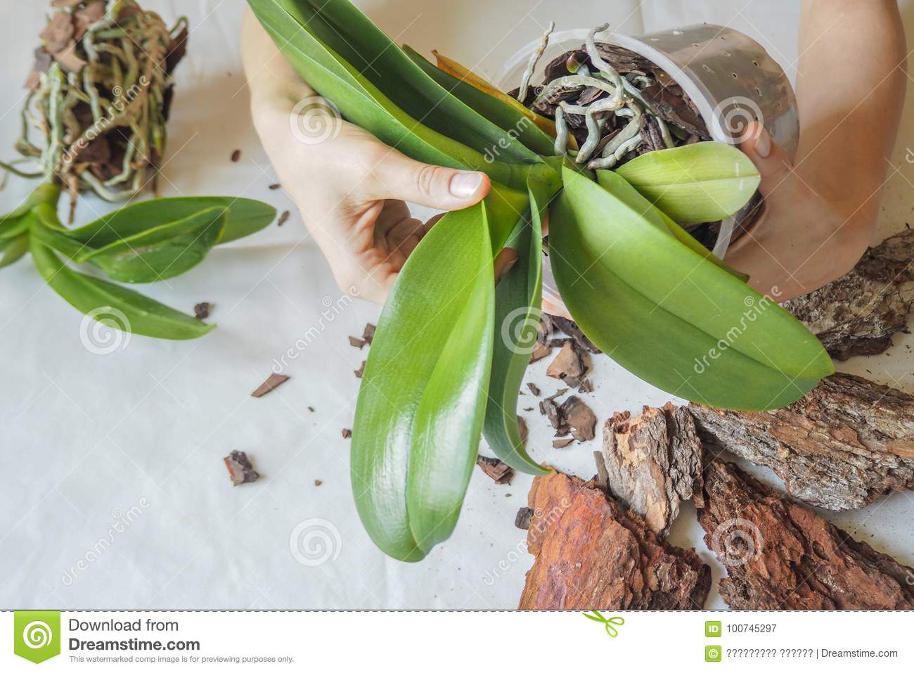 How to transplant an orchid at home