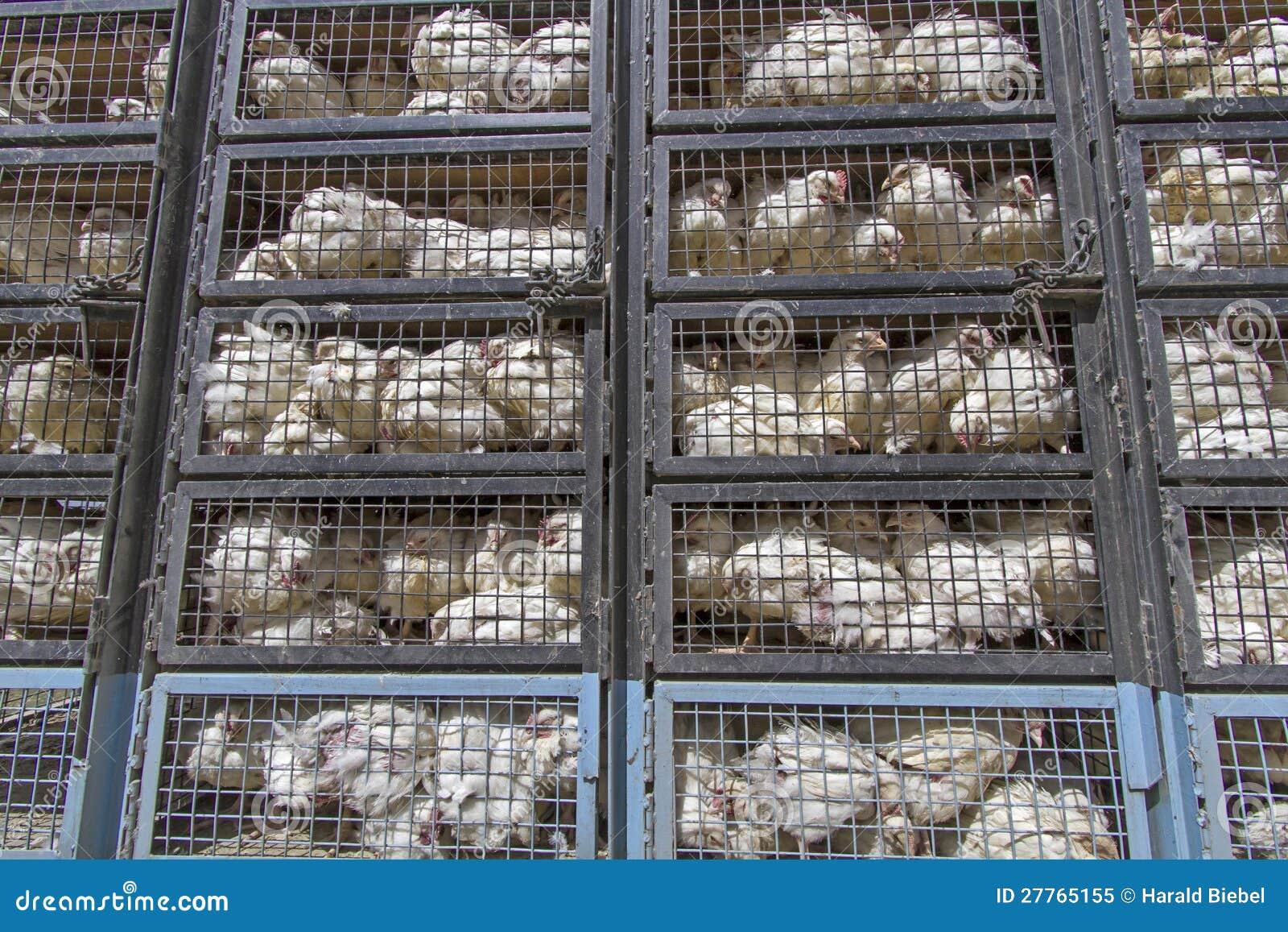 Transport de poulet dans Ladakh, Inde