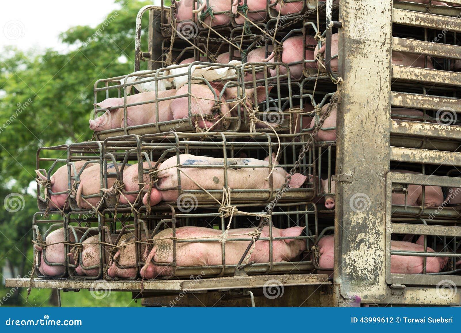 Transport pigs