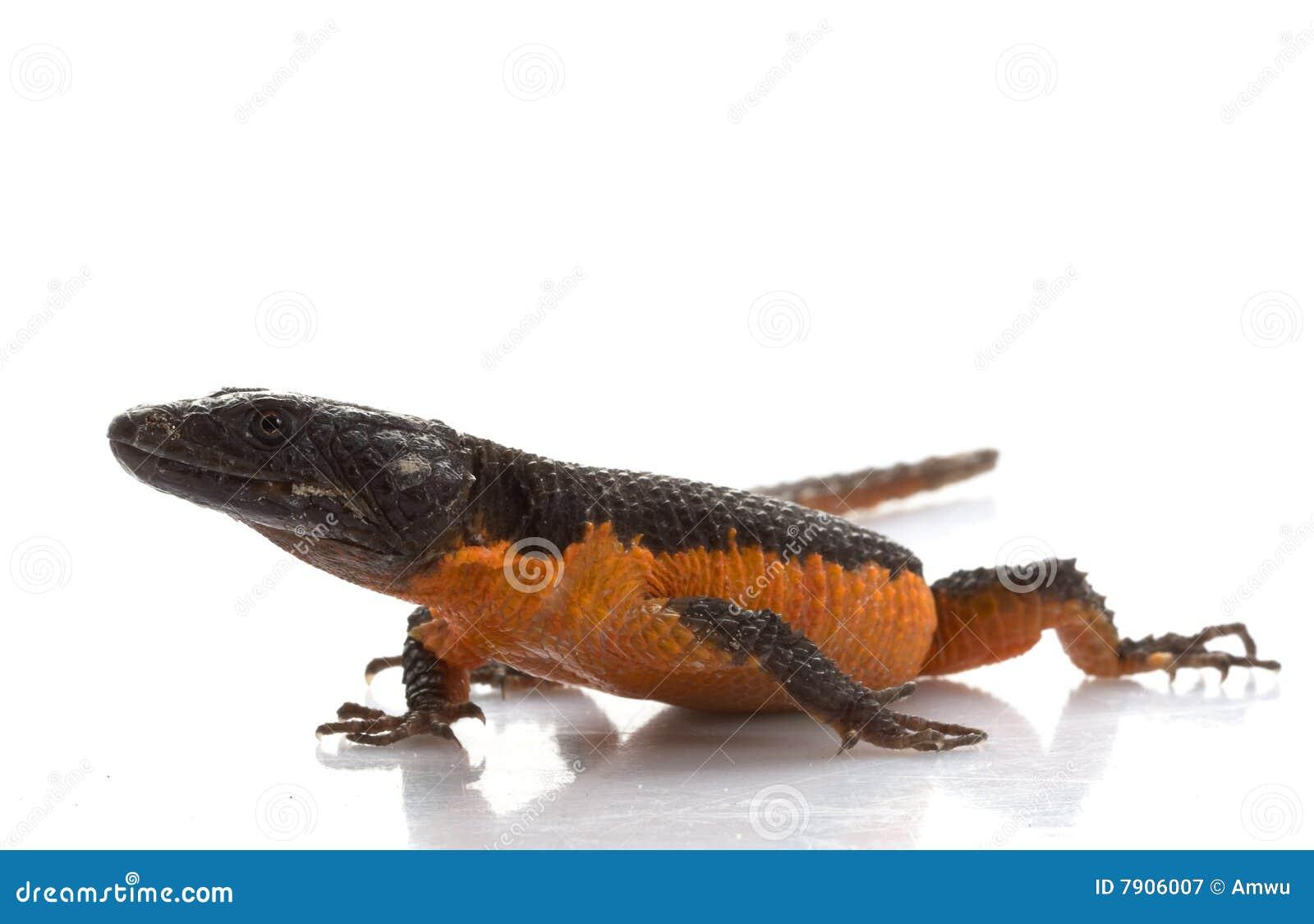 Transvaal rodeó el lagarto