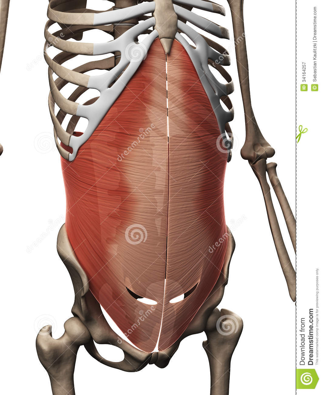 Transversus Abdominis Muscle Royalty Free Stock Photography - Image ...
