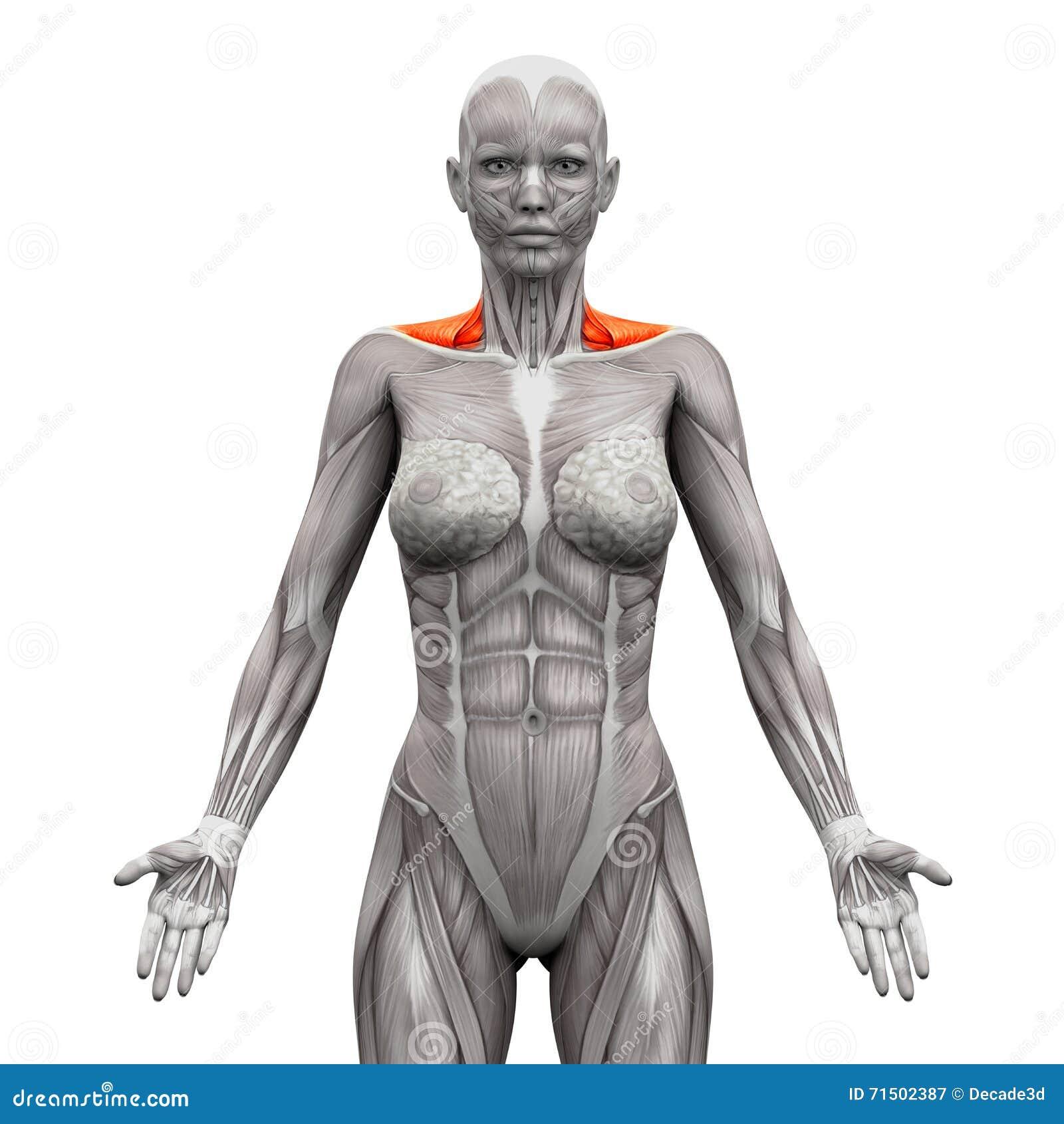 Trapecio Front Neck Muscles - Músculos De La Anatomía Aislados En ...