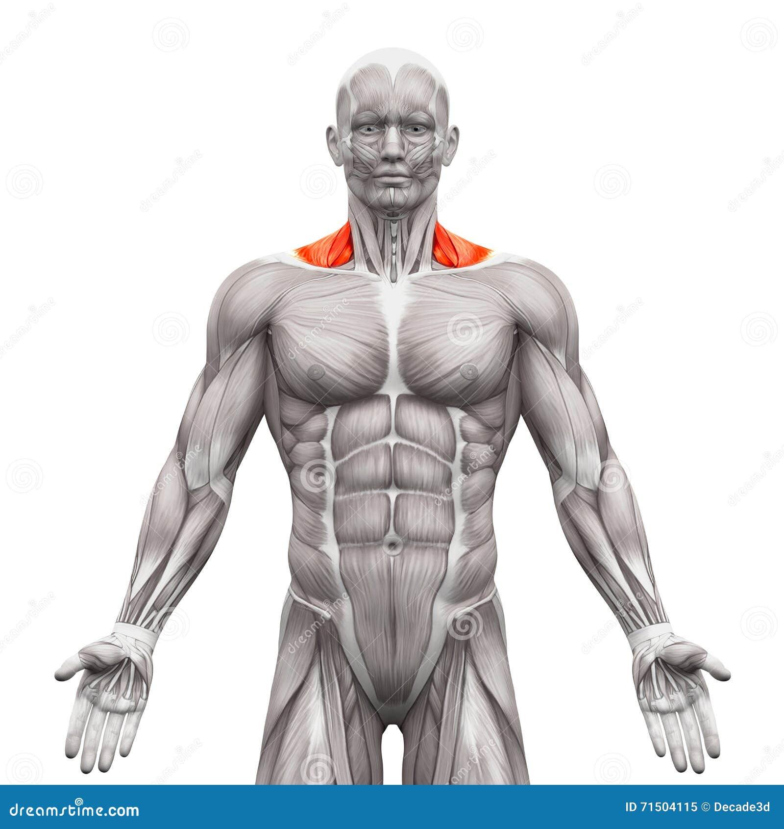 Trapezius Front Neck Muscles Anatomie Muskeln Lokalisiert Auf Wei