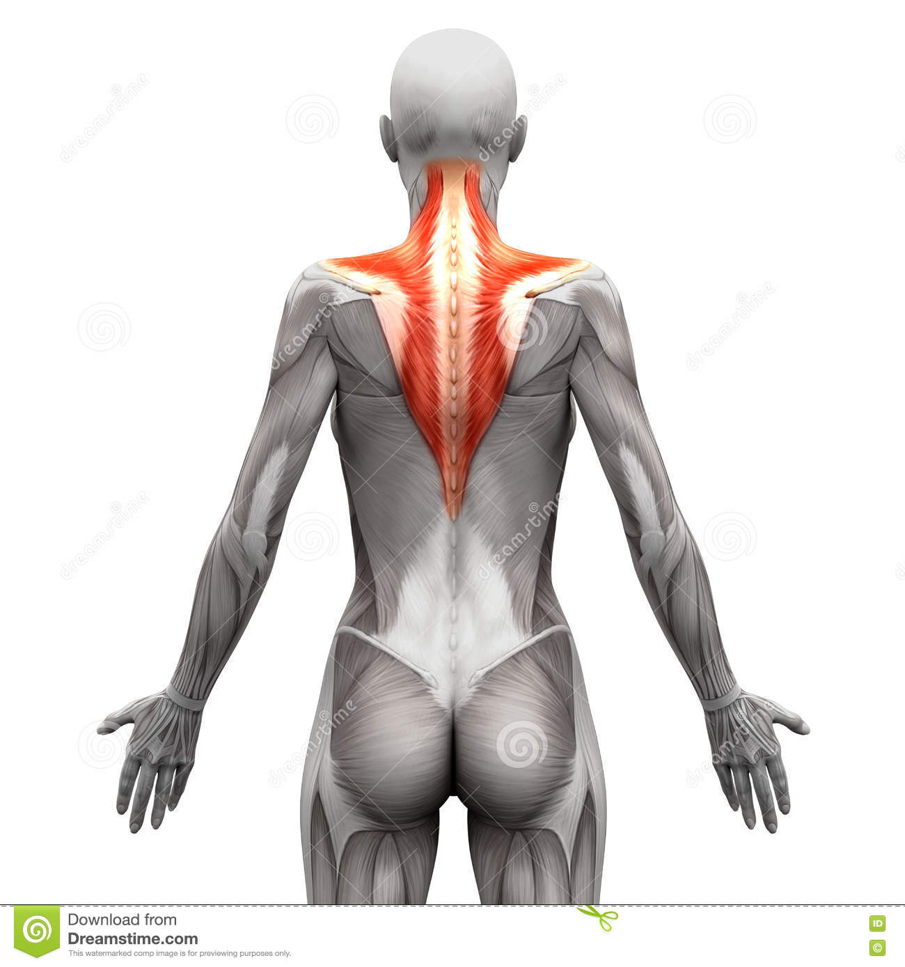 Trapezius Muscle Anatomy Muscles Isolated On White 3d
