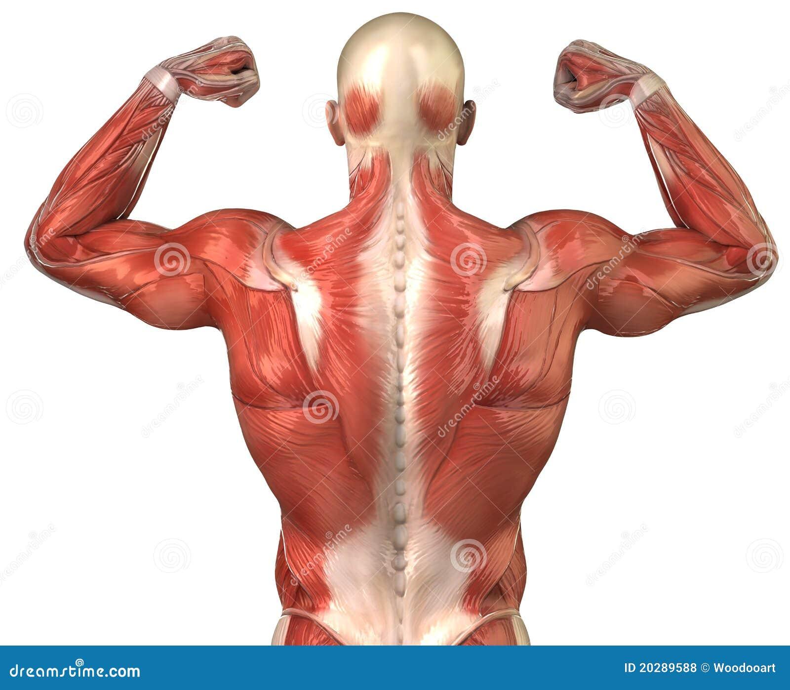 Trasero Muscular Posterior Del Sistema Del Hombre En Actitud Del ...