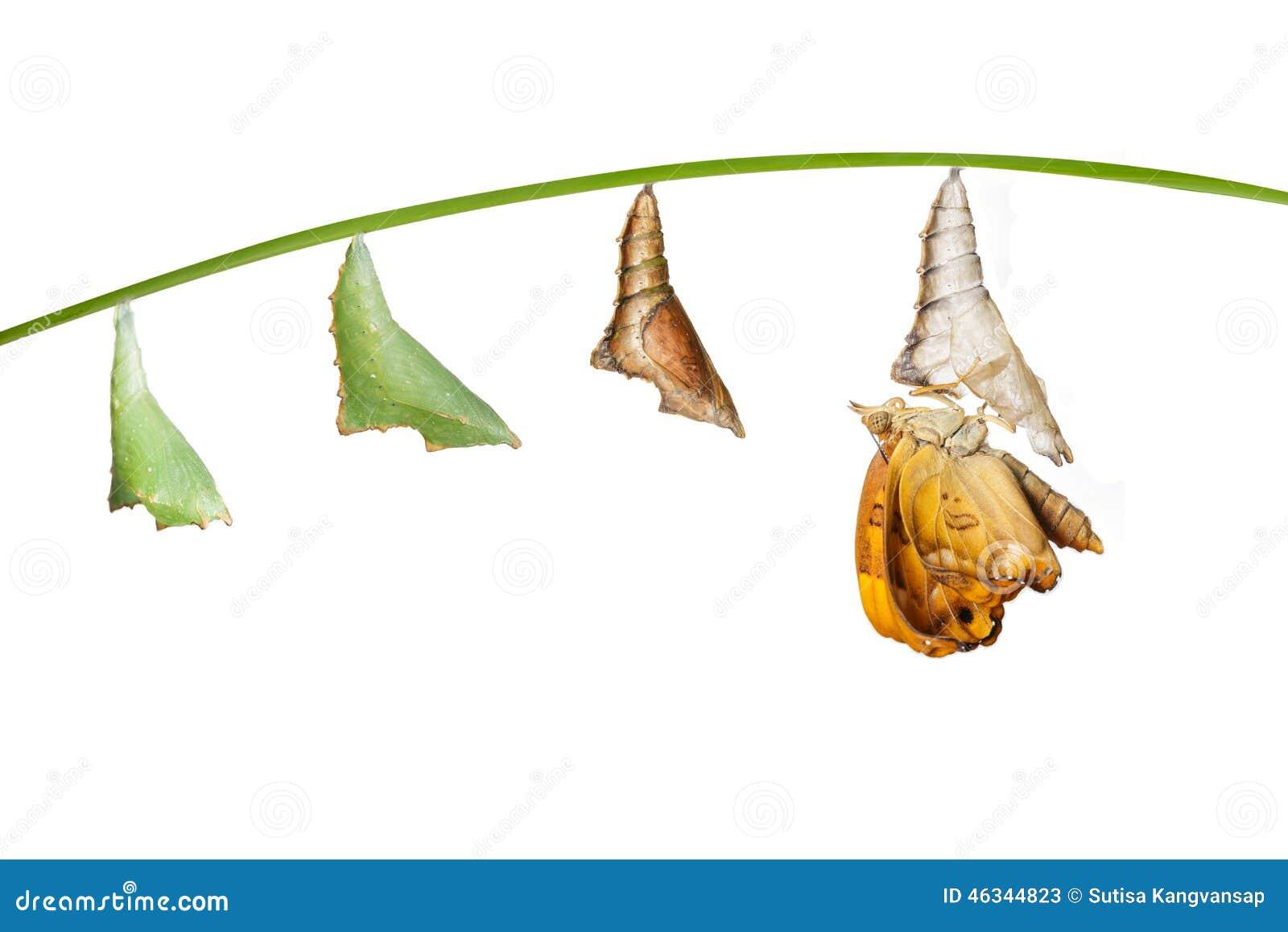 Trasformazione dalla crisalide alla femmina del butterfl nero siamese di principe