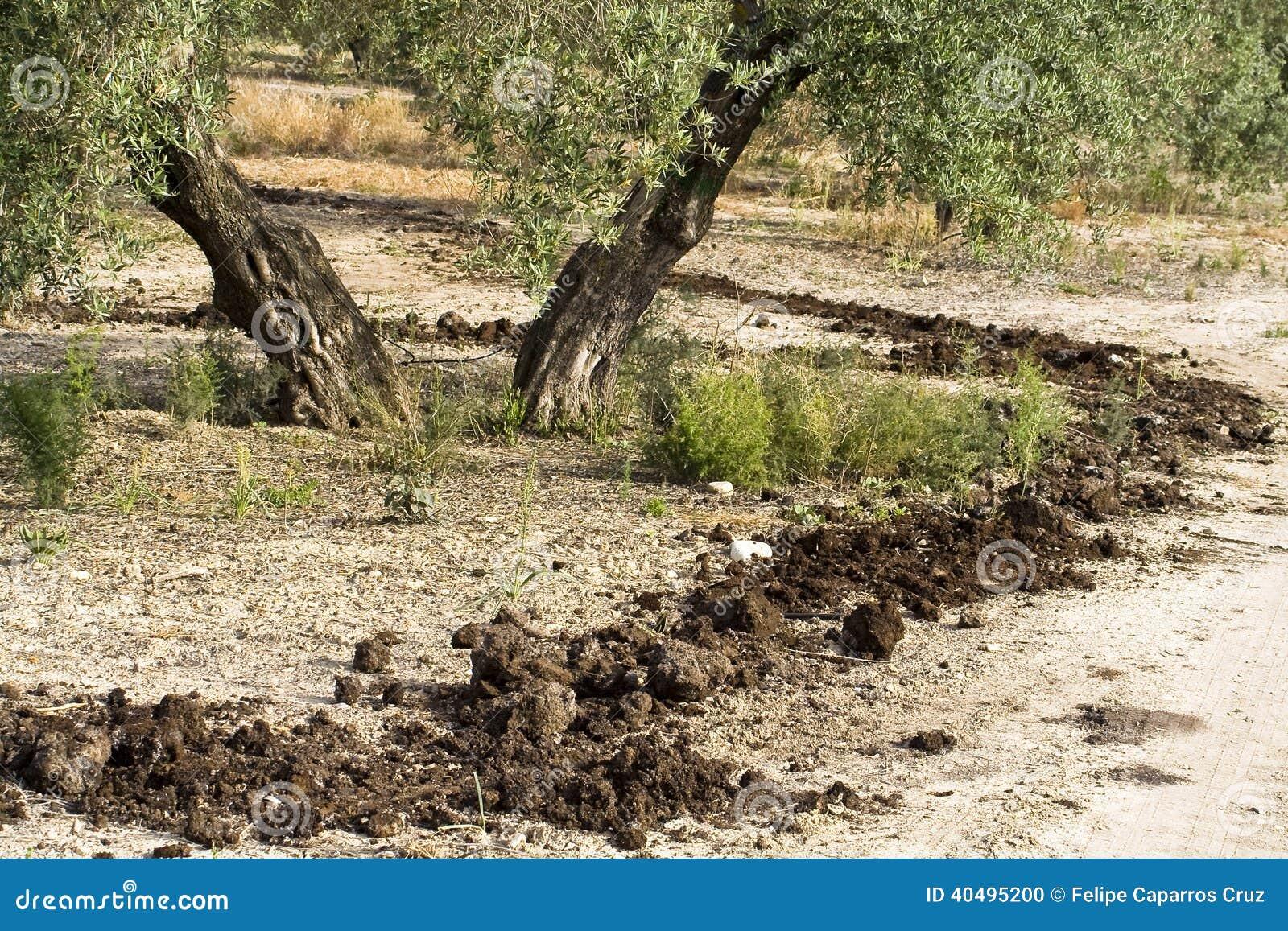 Trattamento di fecondazione in di olivo spagna fotografia for Acquisto piante olivo