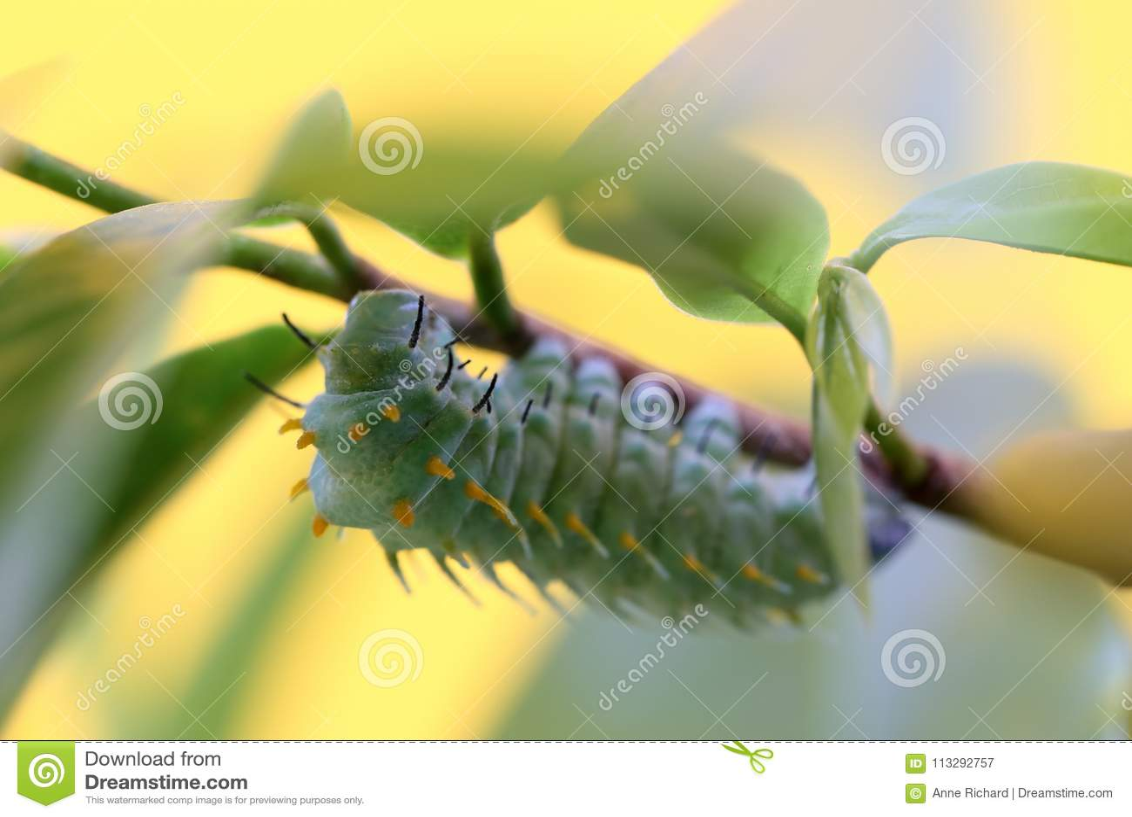 Trattore a cingoli gigante del lepidottero di seta