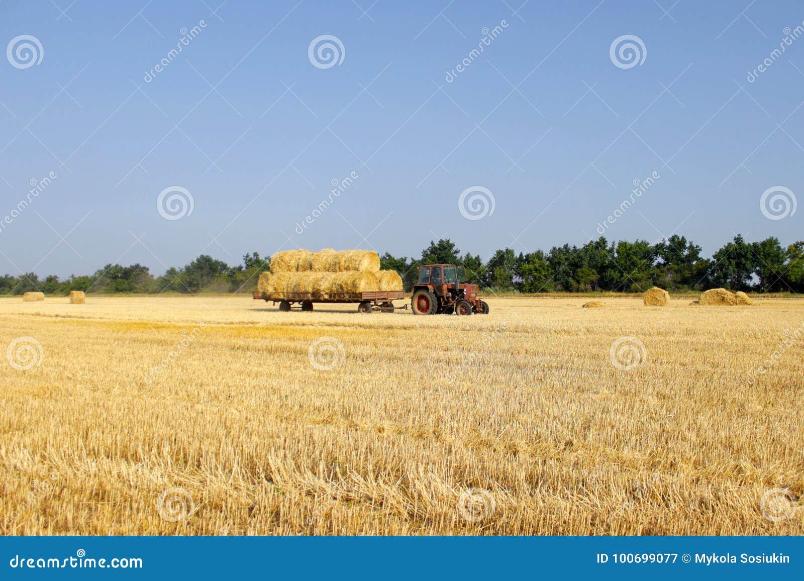 Trattore con fieno Il fieno di trasporto del trattore Balle di fieno impilate nel carretto