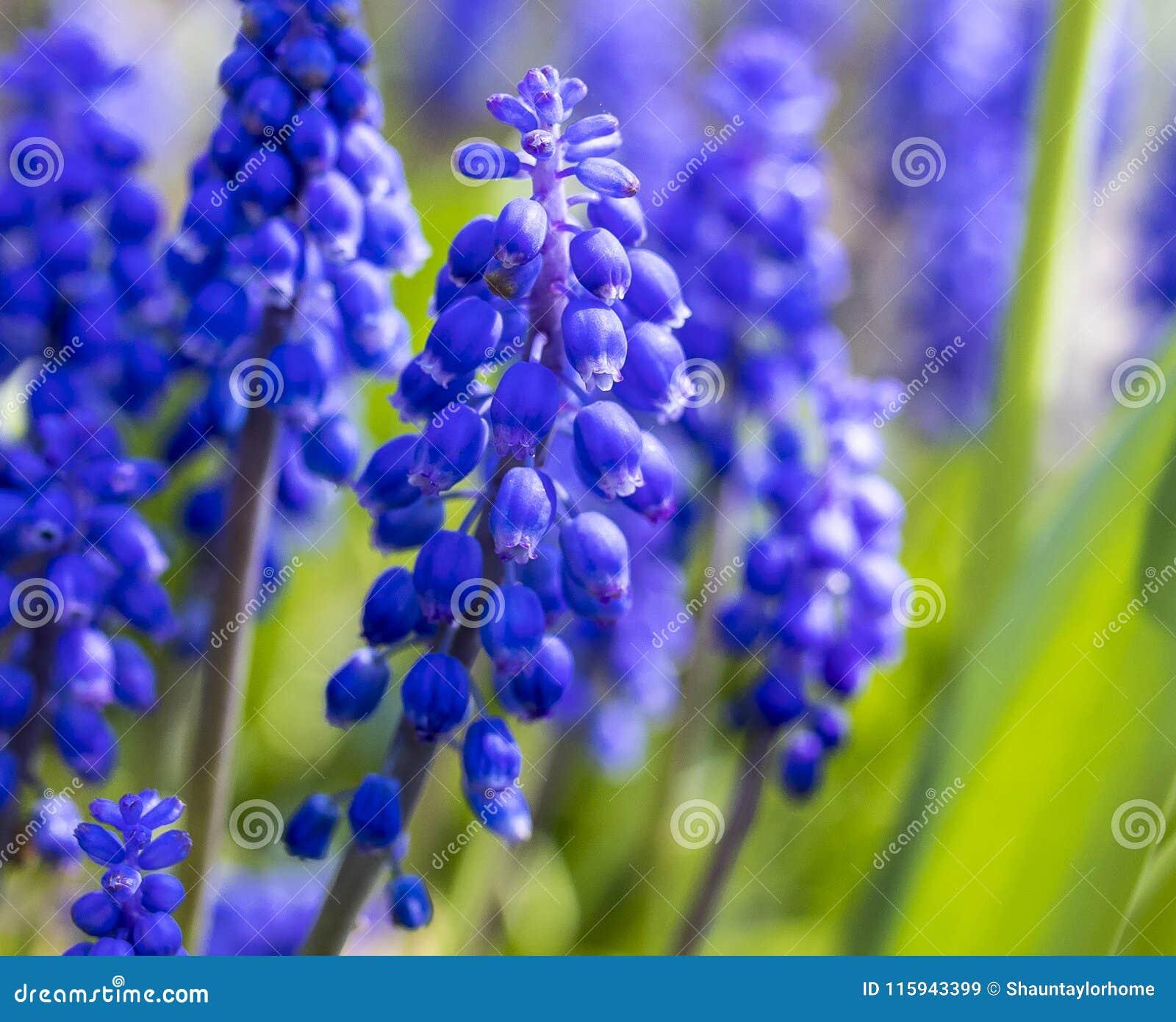 Traube Hyacinth Muscari, der im Frühjahr in England in Großbritannien blüht