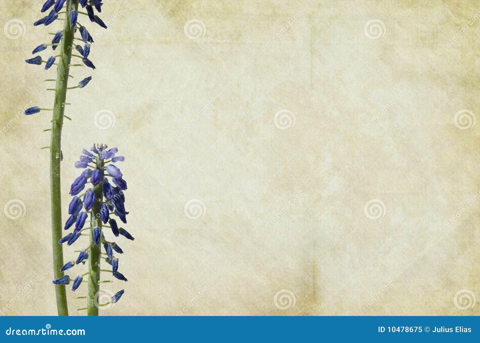 Traube-Hyazinthe Blumen