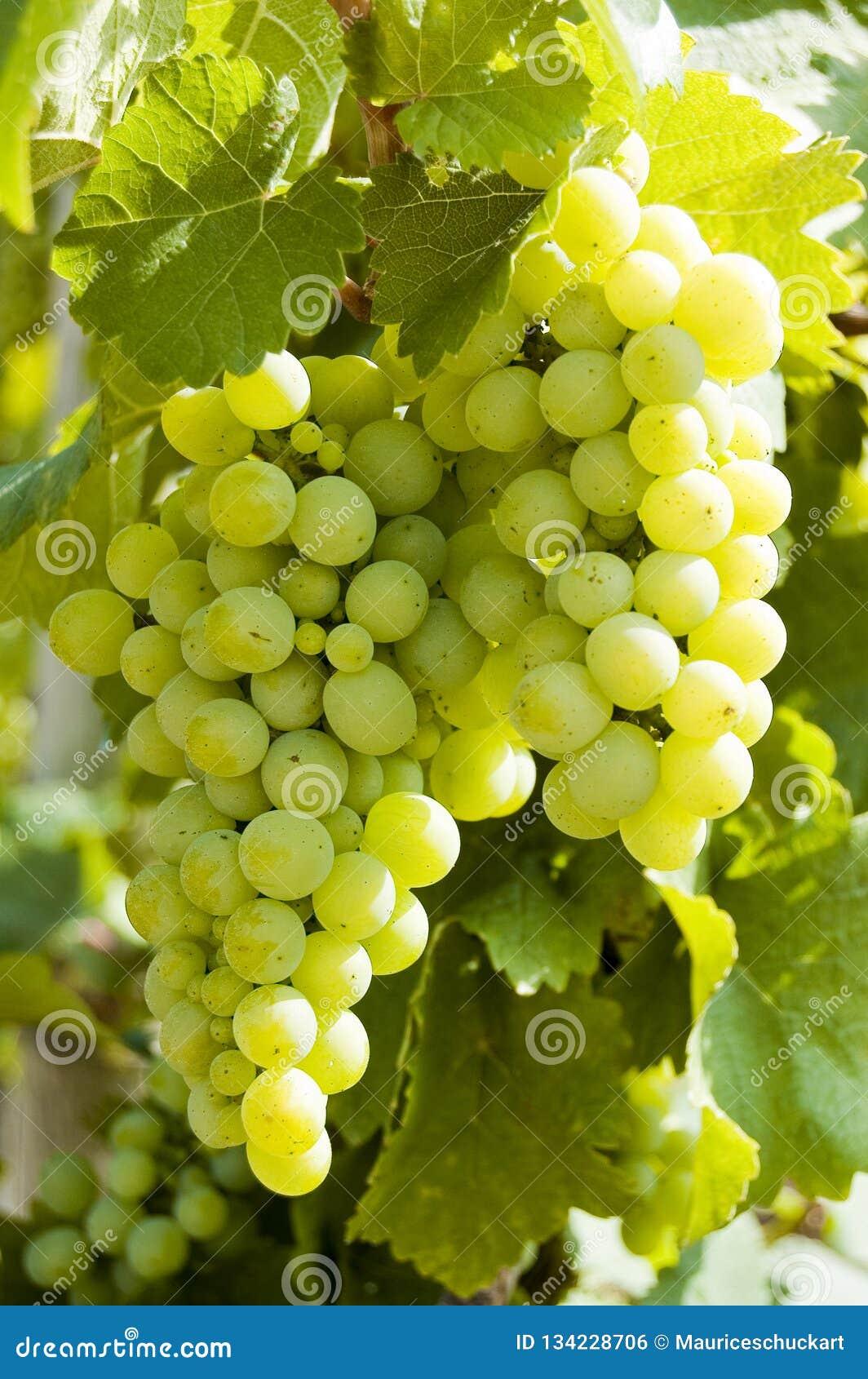 Trauben auf einem Weinstock mit hölzernem Hintergrund