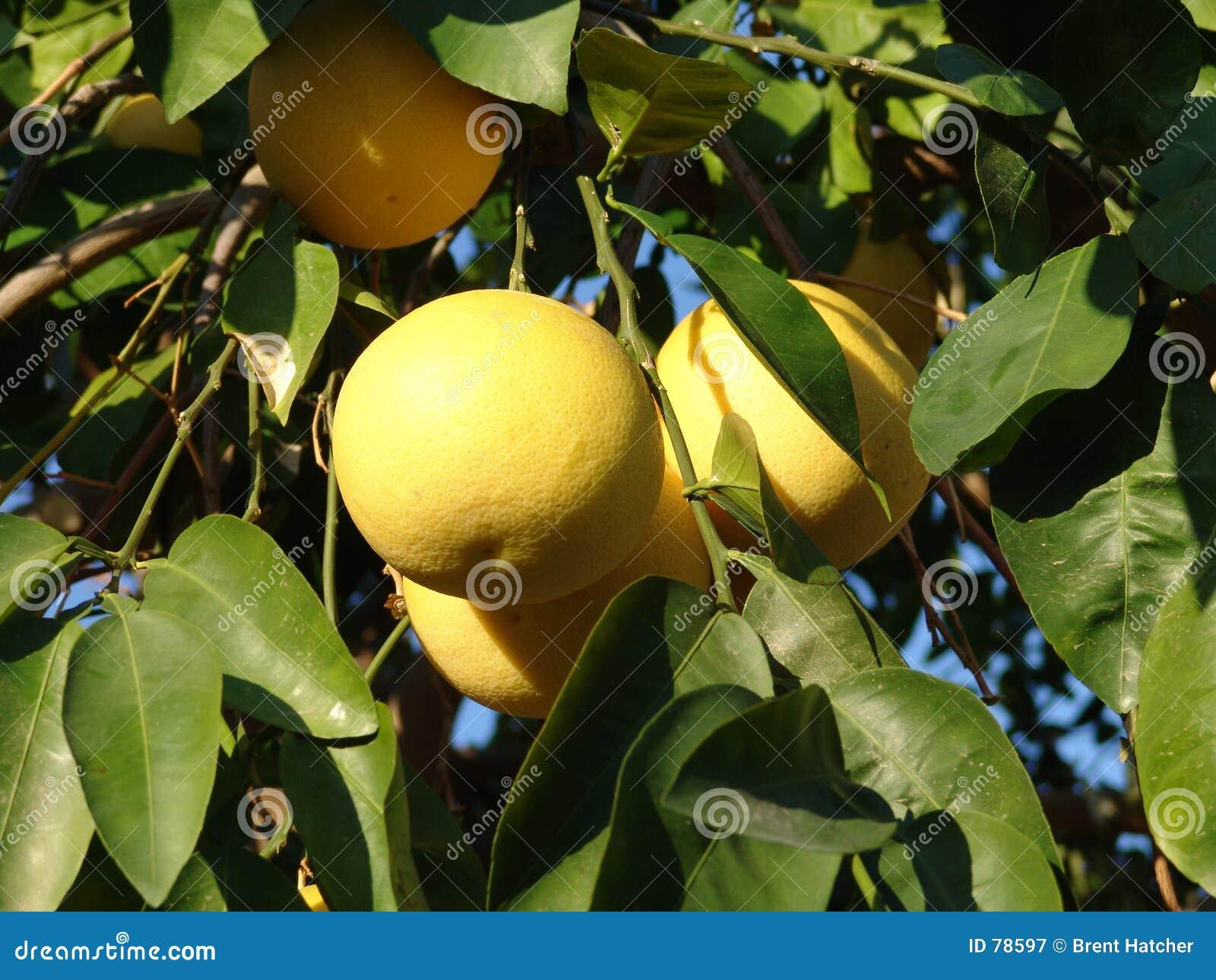 Trauben-Frucht