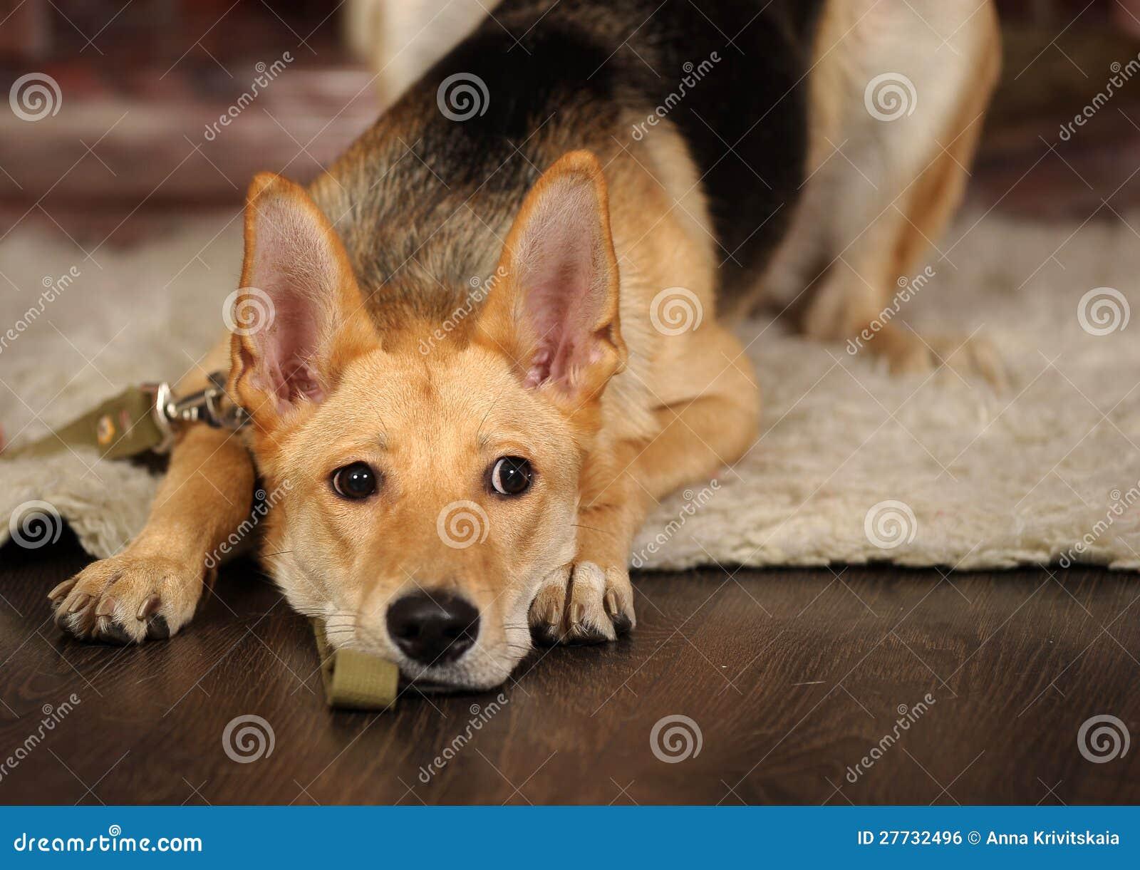 Trauriges Hundelügen