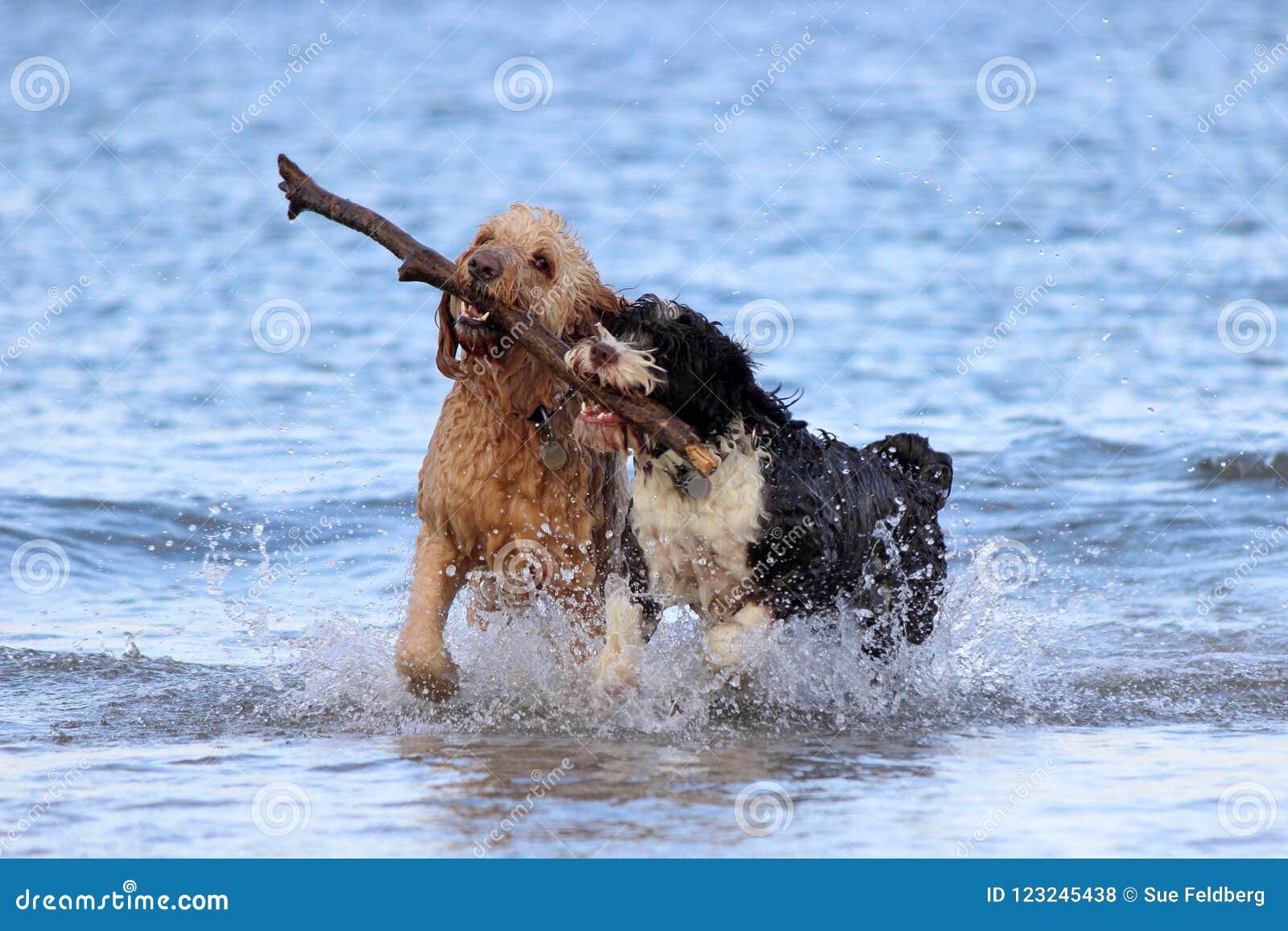 Travail d équipe de chien - chercher un bâton