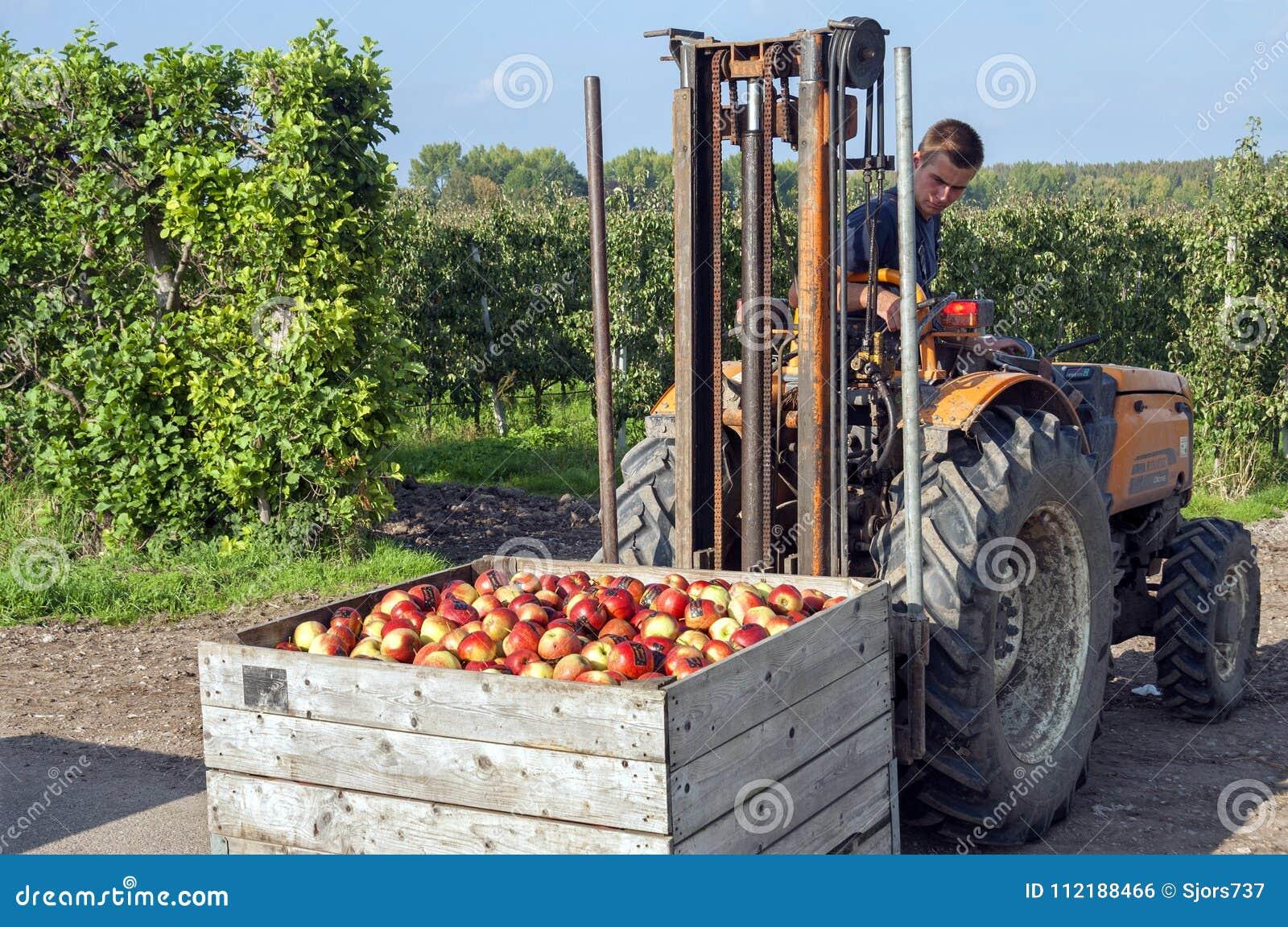 Travailleur polonais dans la récolte d Apple de Néerlandais dans le Betuwe