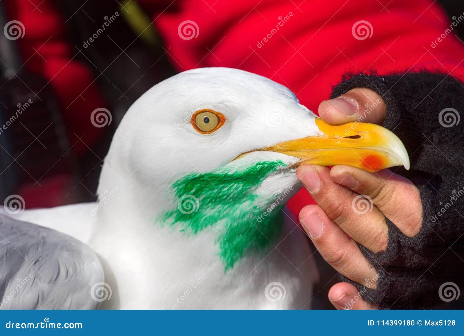 Travando, gaivota glauco de marcação (hyperboreus do Larus) com objecti