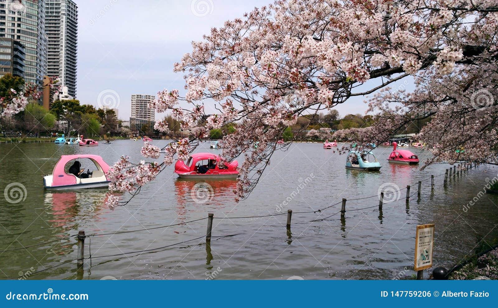 Cherry trees in Ueno park