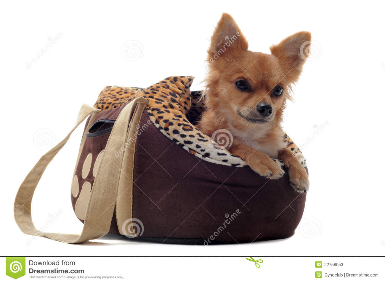 Travel bag and chihuahua stock image. Image of white