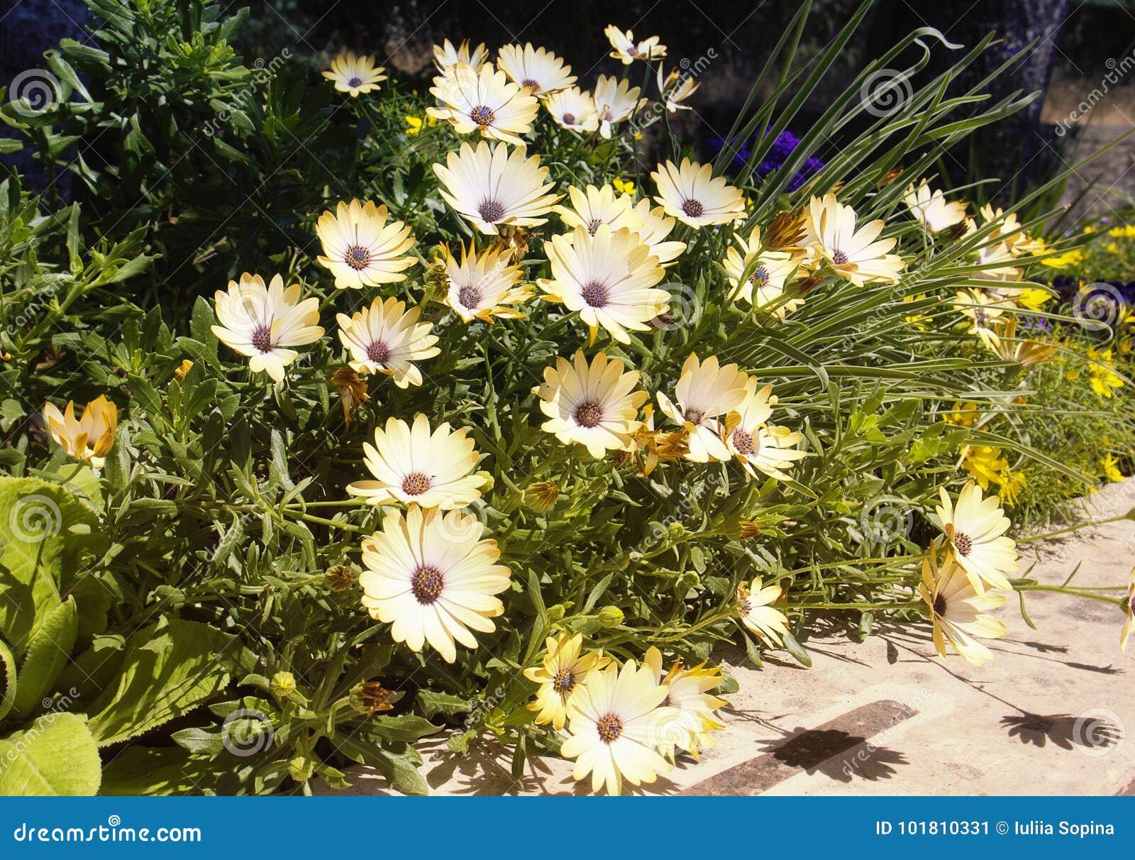 Beautiful Summer Flowers In The Garden Echinacea Stock Image