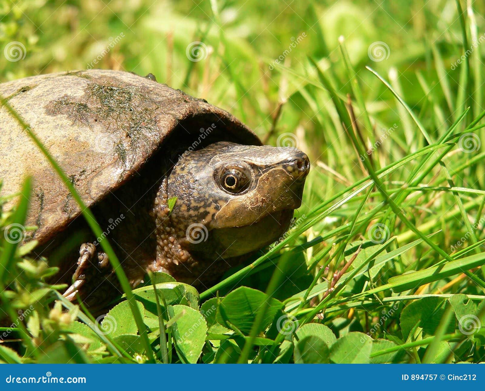 Trawa żółw błoto.