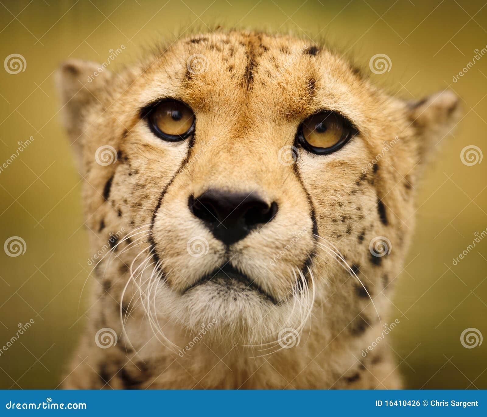 Trawa geparda pola trawa