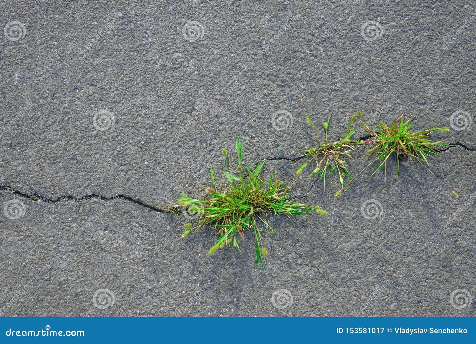 Trawa r w asfaltu pęknięciu