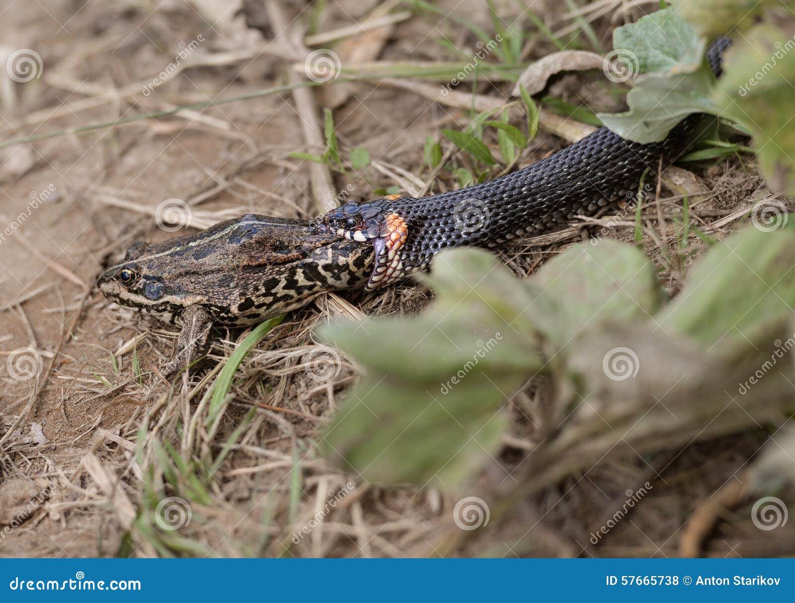 Trawa węża łasowania żaba