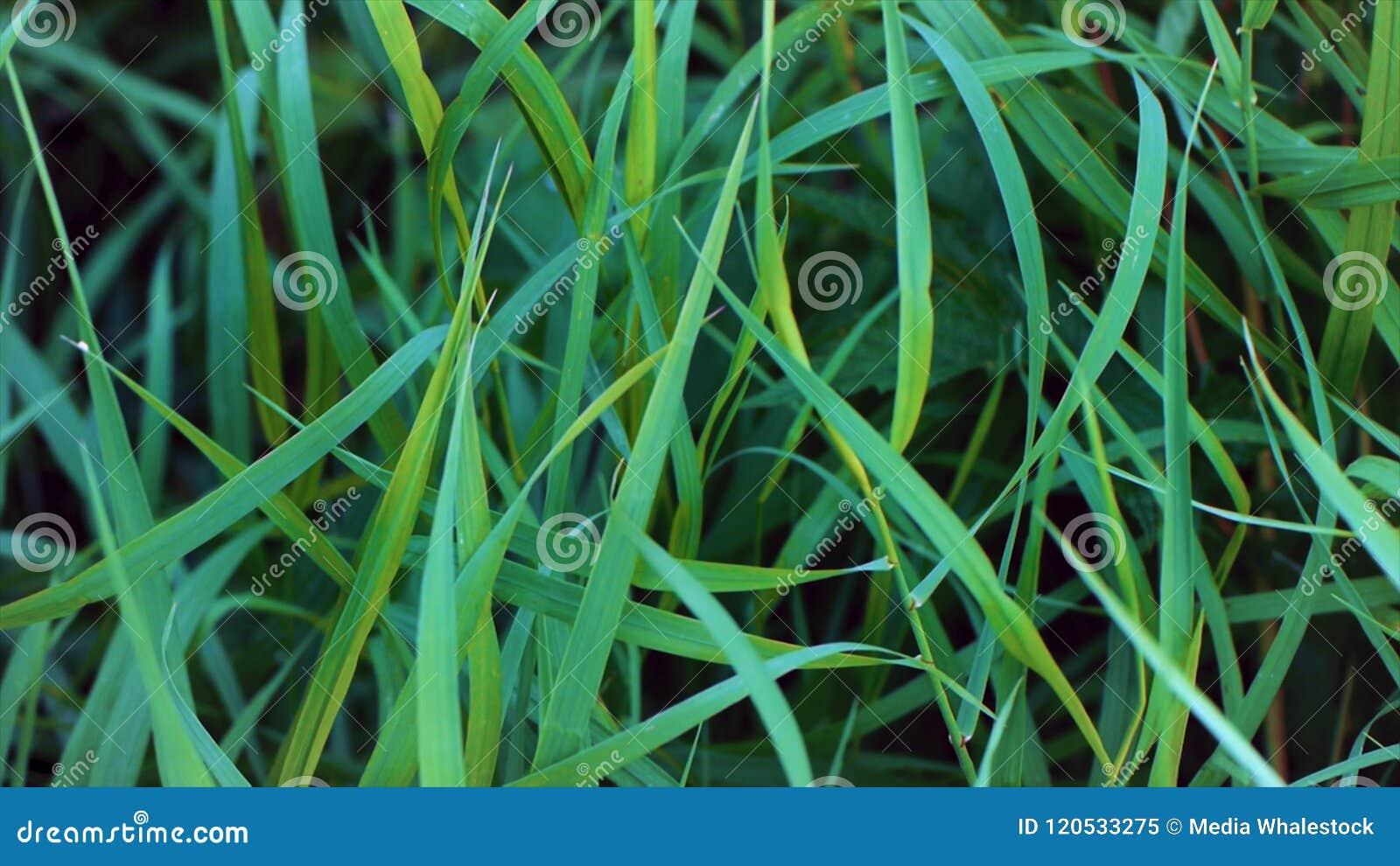 Trawy tła świeżej green Zielonej trawy zakończenie up z rosa kroplami mokry trawa deszcz zakończenie liście