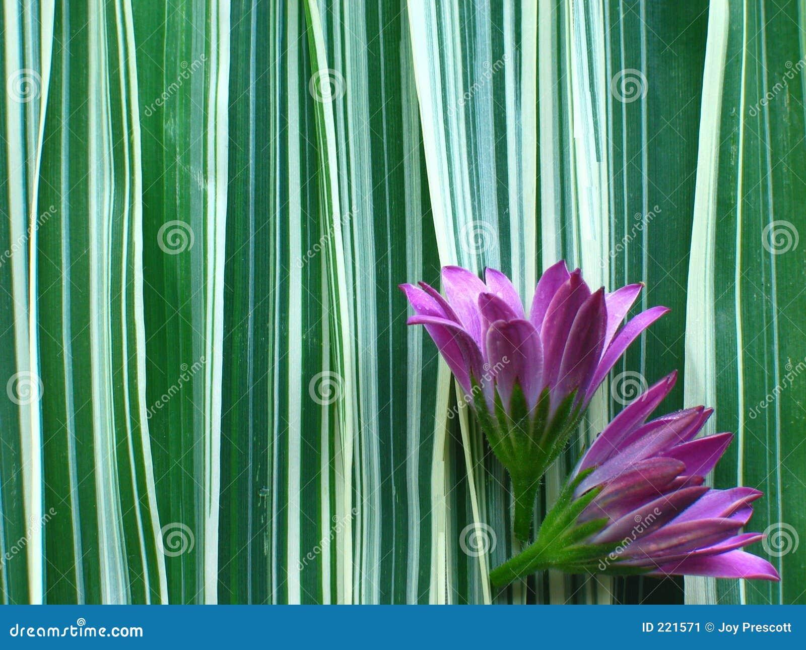 Trawy wstążkę fioletowego kwiat