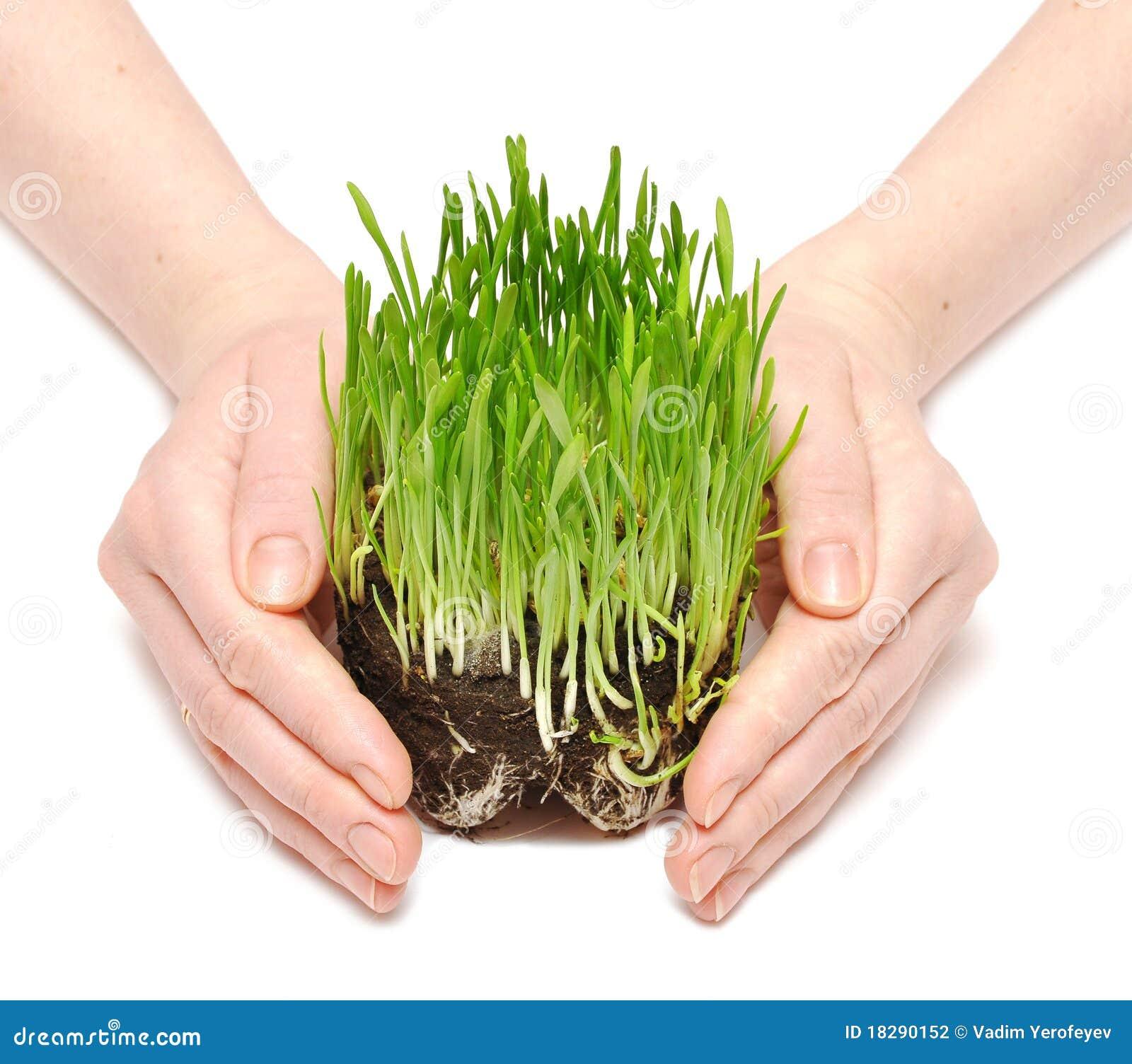 Trawy zieleni ręk gacenie kiełkuje kobiety