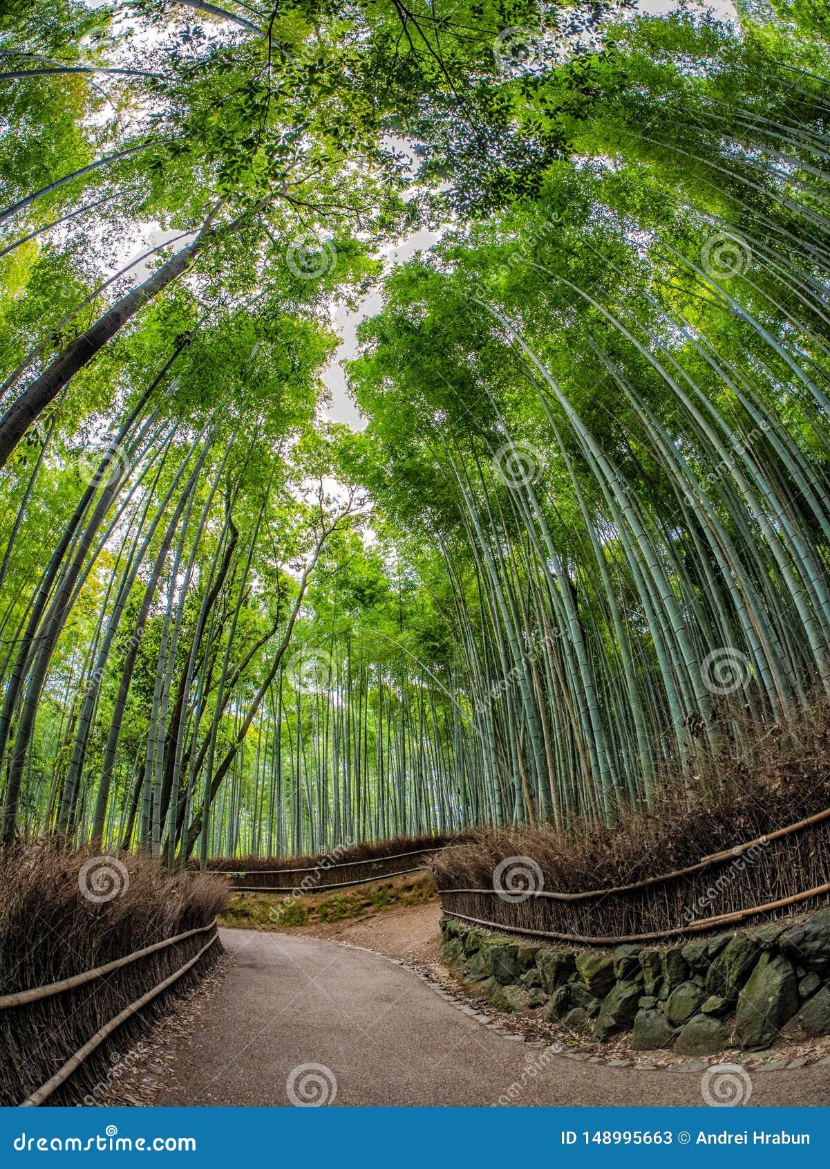 Trayectoria al bosque de bamb?, Arashiyama, Kyoto, Jap?n