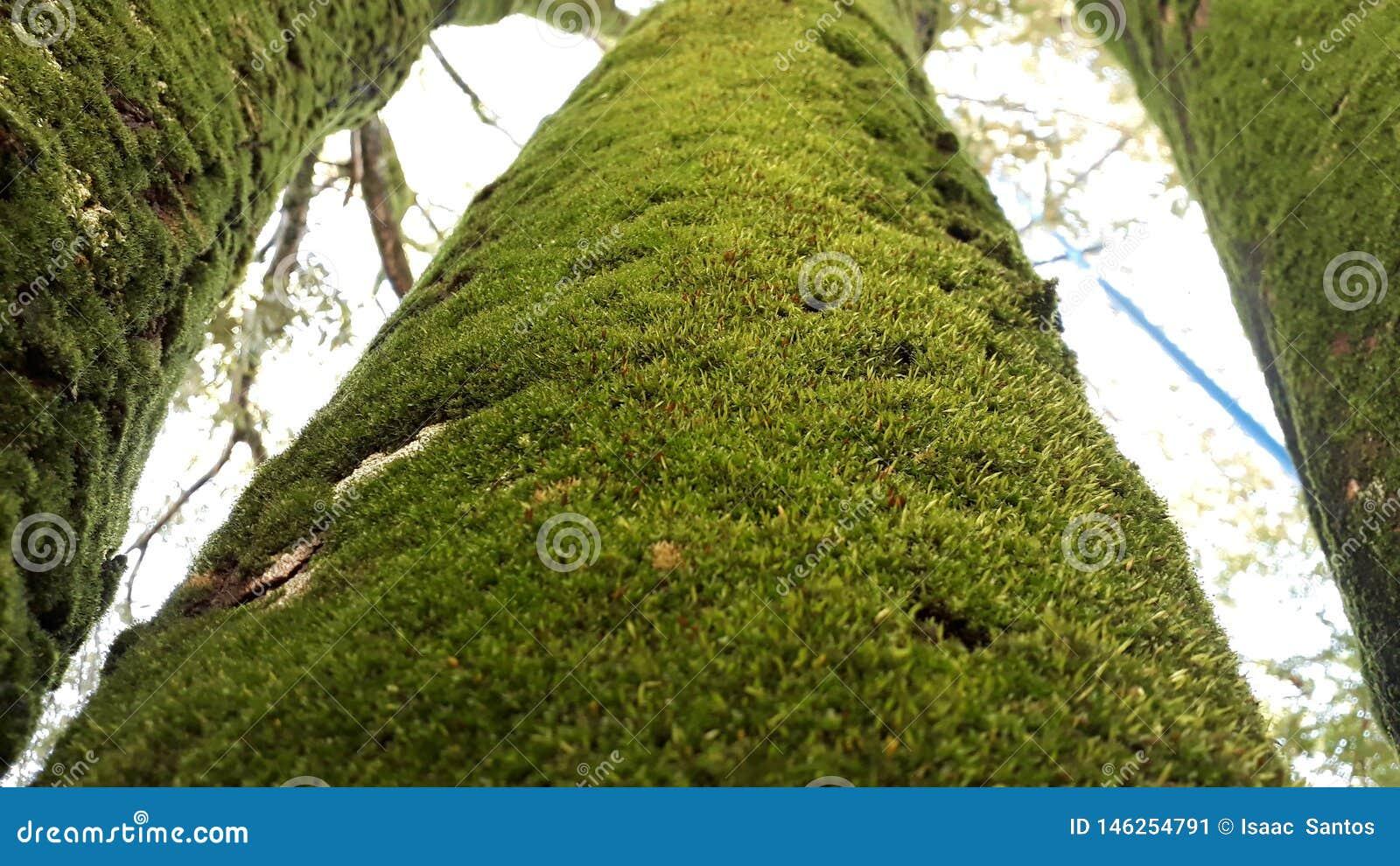 Tre alberi verdi coperti da limo
