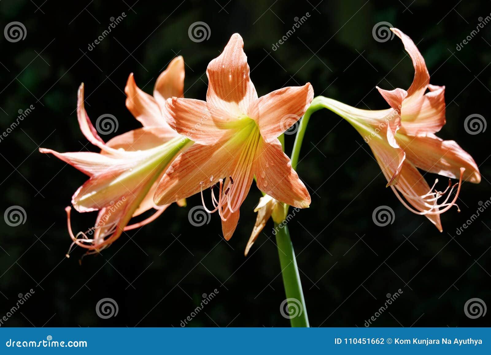 Tre Amaryllis blommor i den svarta bakgrunden