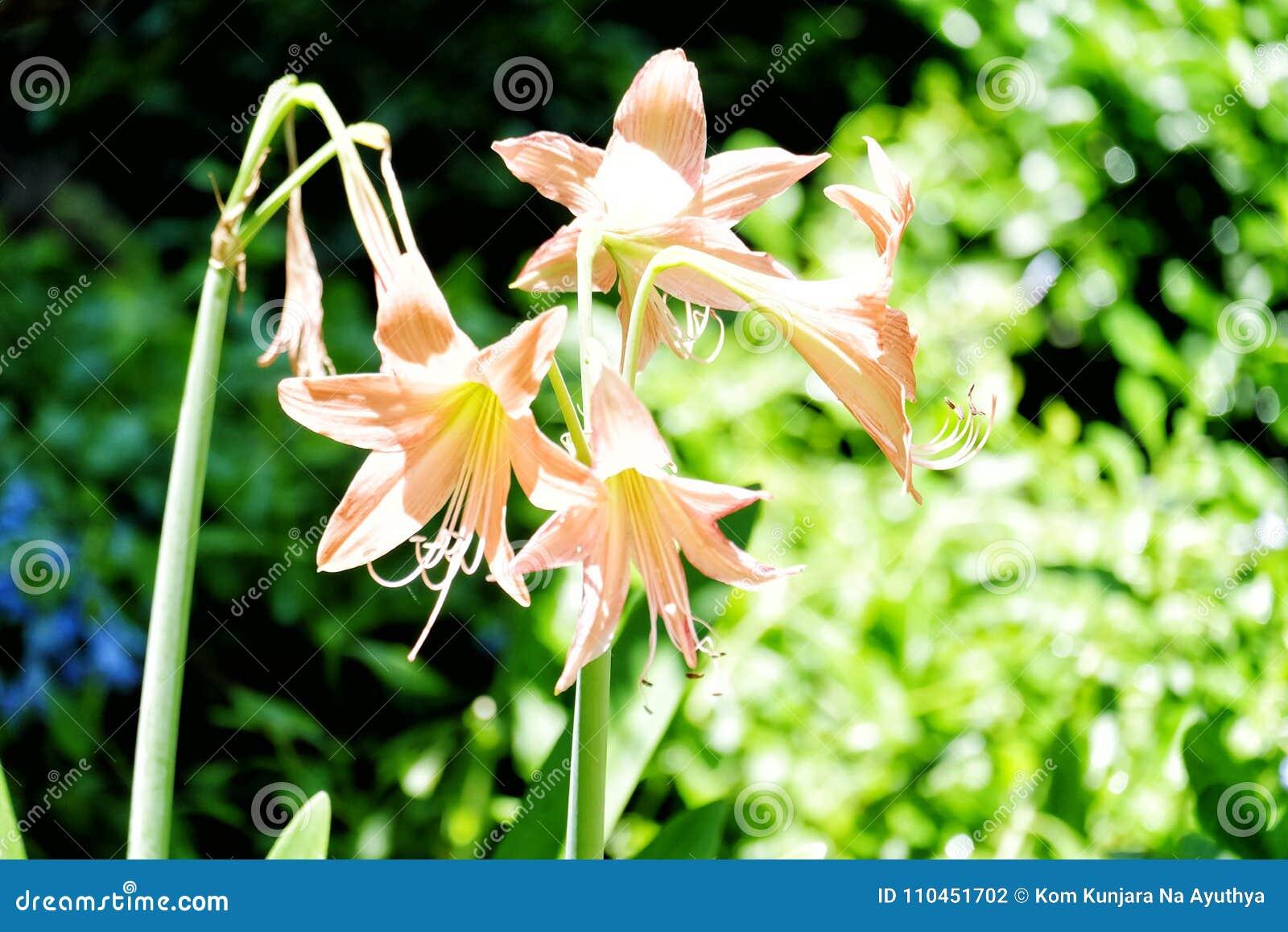 Tre Amaryllis blommor i den utomhus- trädgården