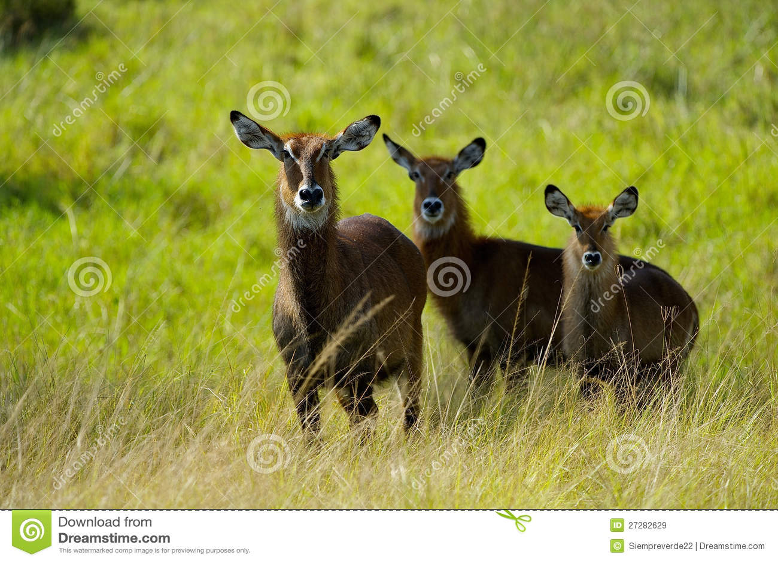 Tre antilop i Afrika