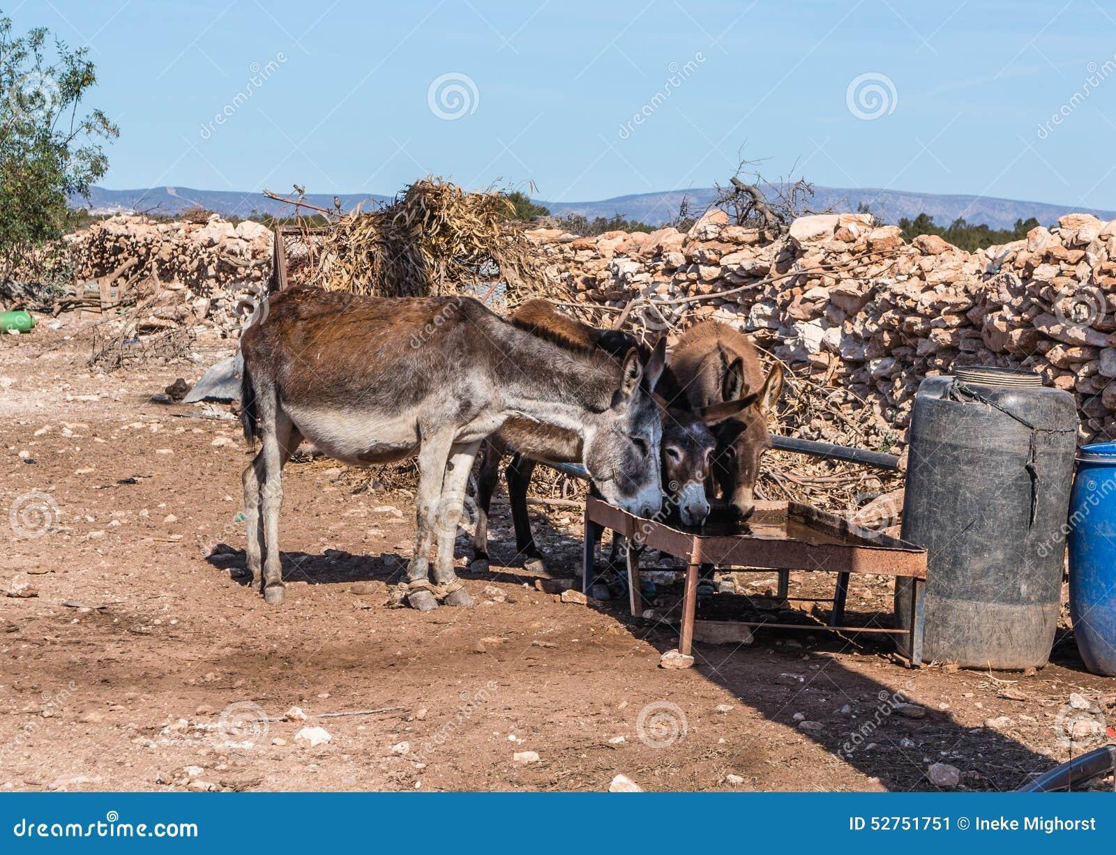 Tre asini beventi dell azienda agricola nel Marocco