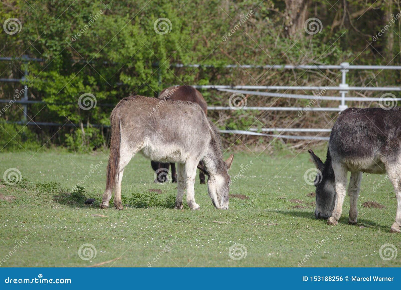 Tre asini domestici che pascono su un campo verde