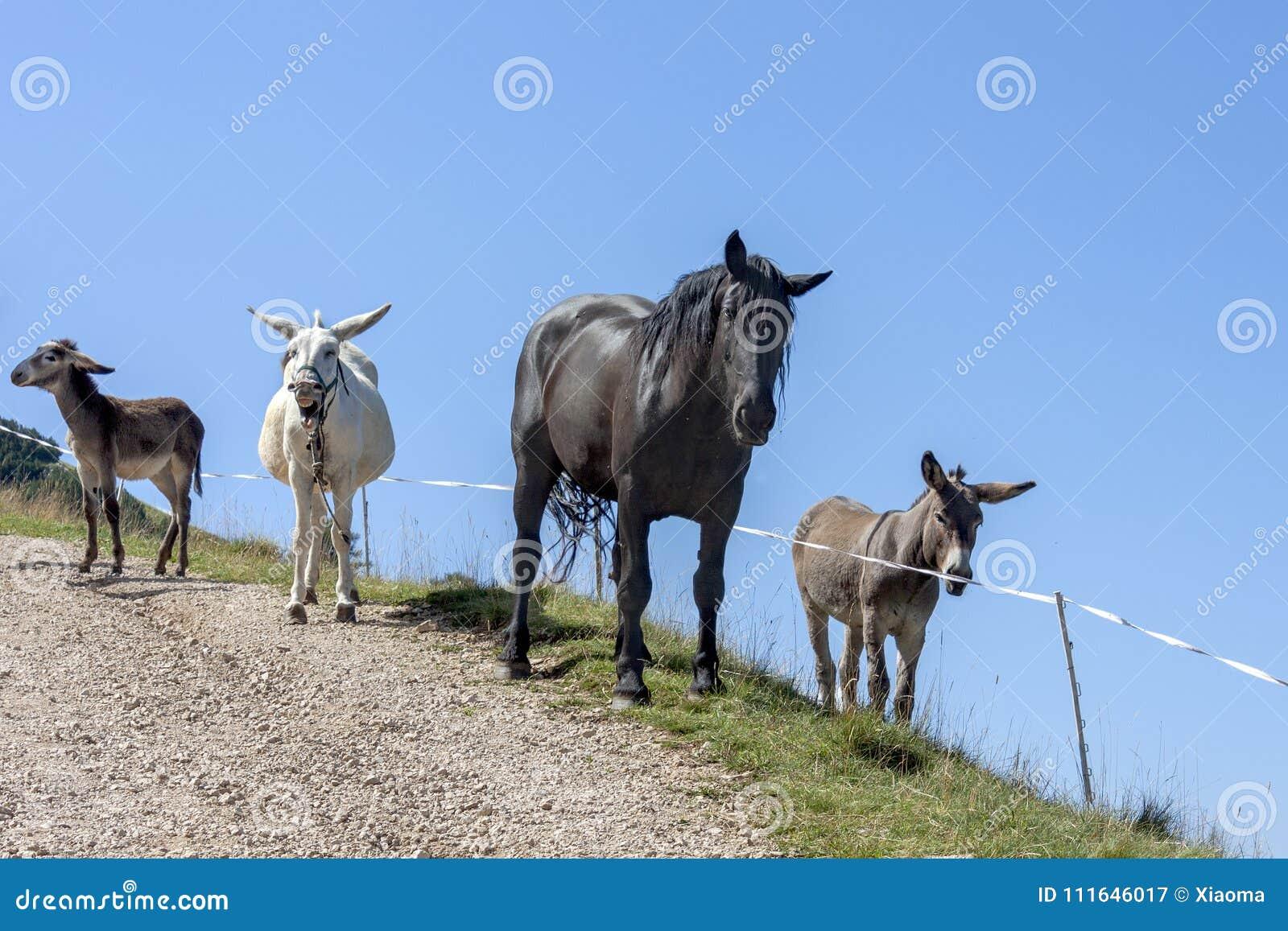 Tre asini e un grande cavallo nero su fondo blu