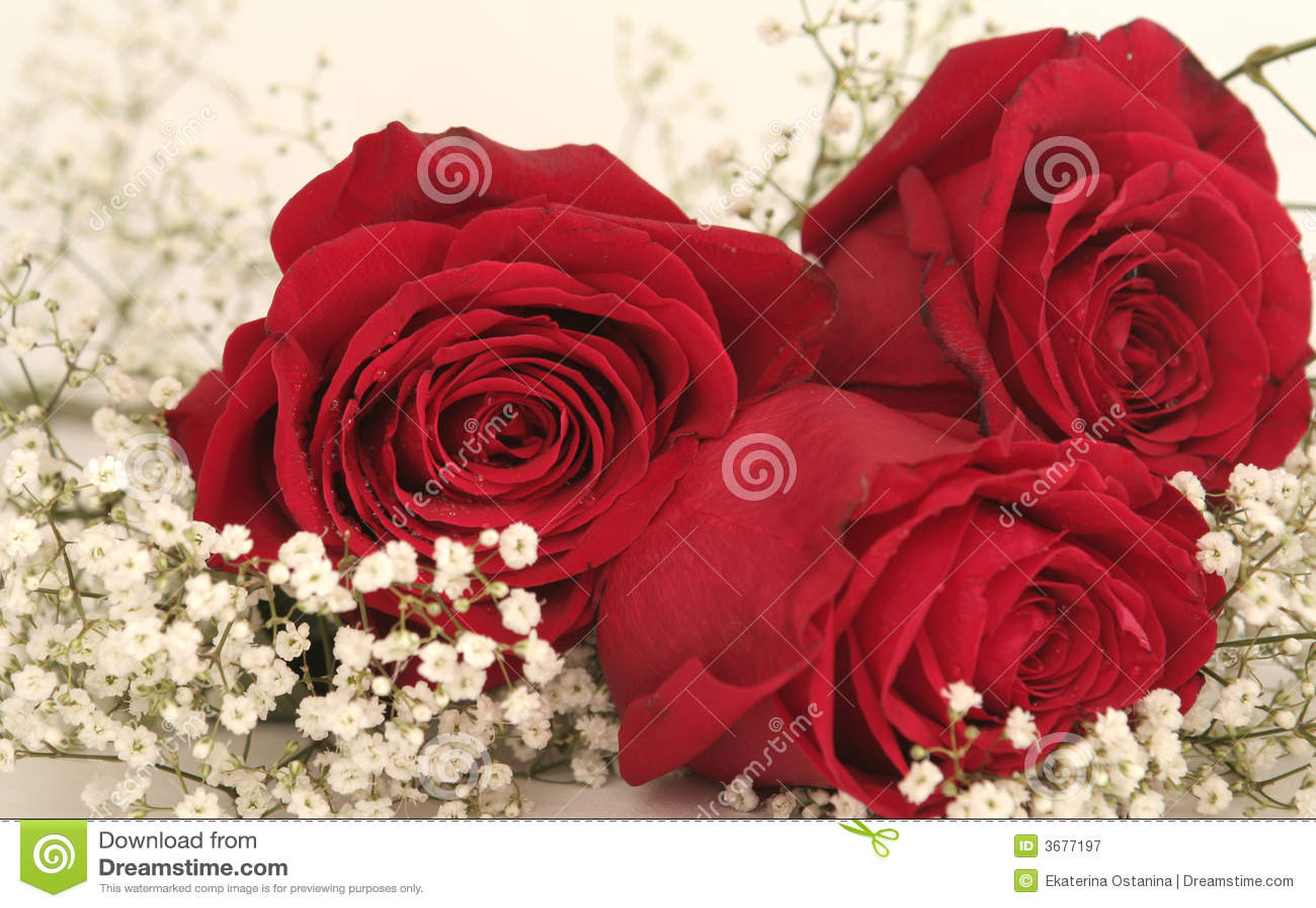Download Tre belle rose rosse immagine stock. Immagine di fogli - 3677197