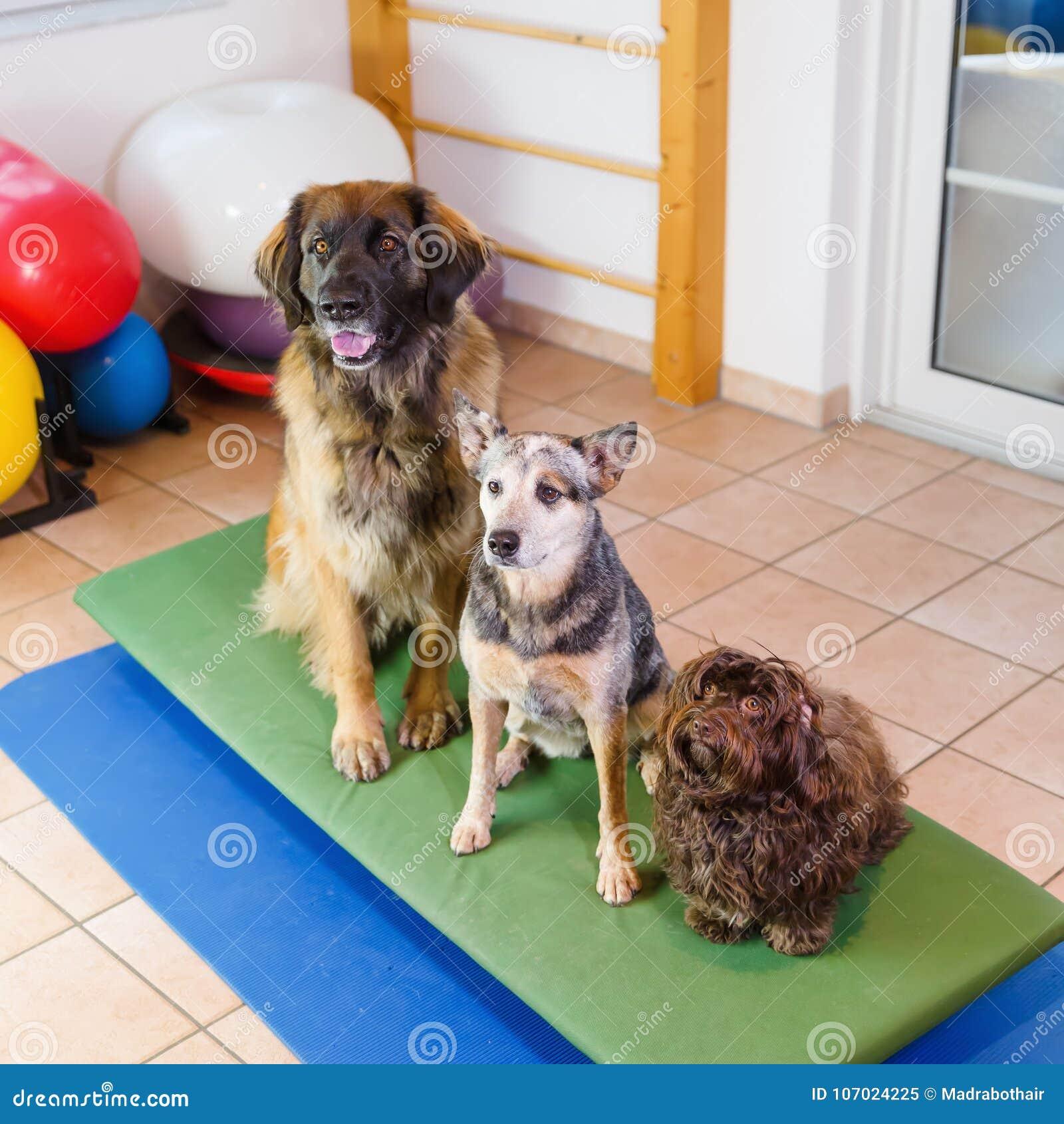 Tre Cani Che Si Siedono Su Una Vacillazione Imbarcano In ...