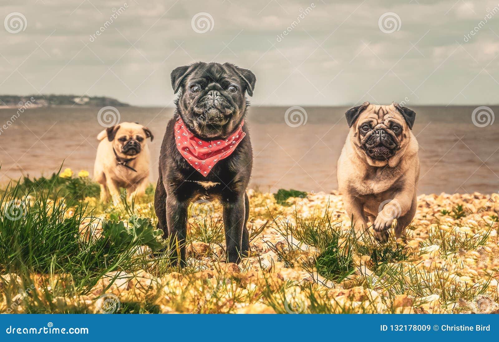 Tre cani del carlino che corrono verso la macchina fotografica a partire dal mare